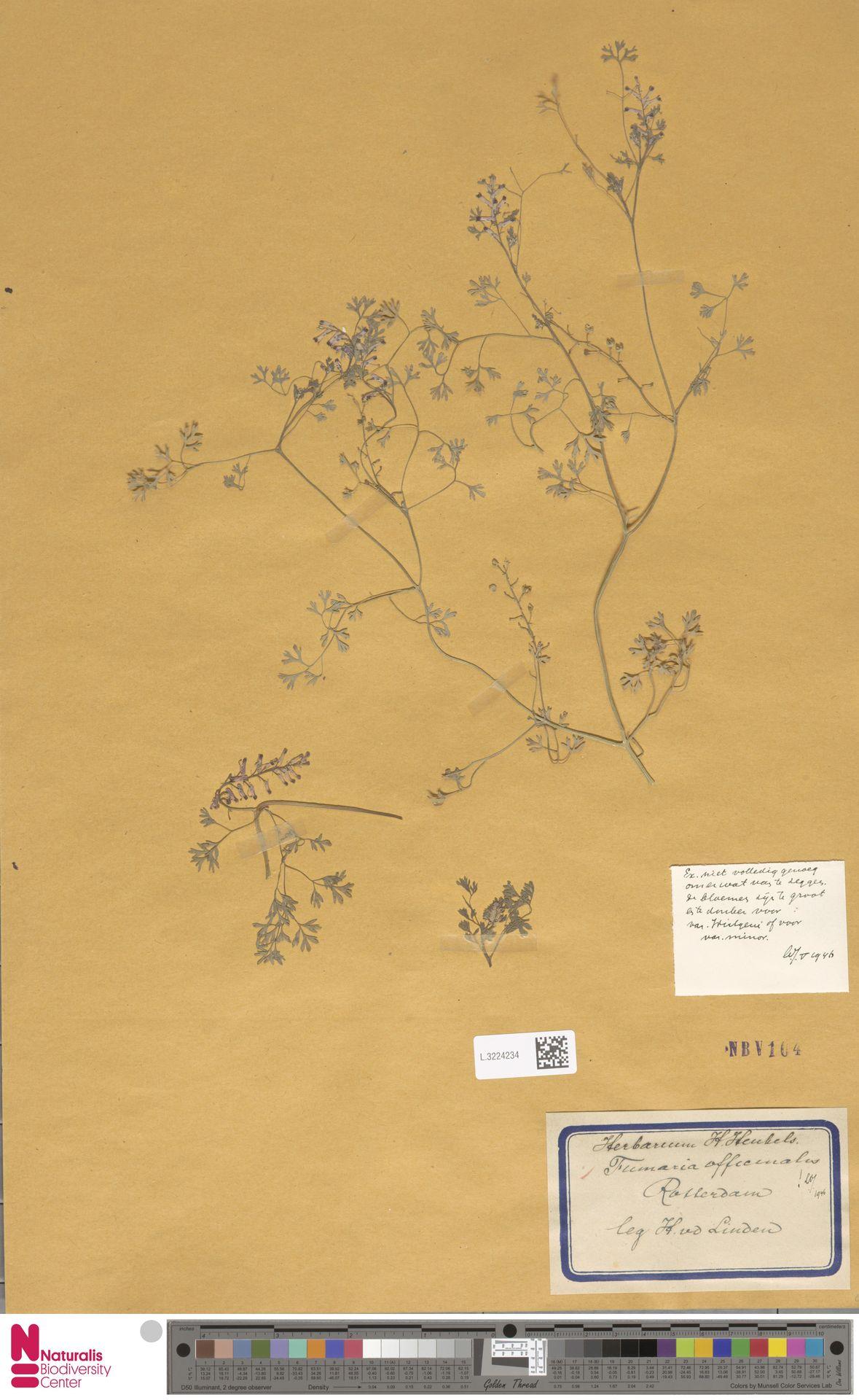L.3224234   Fumaria officinalis L.