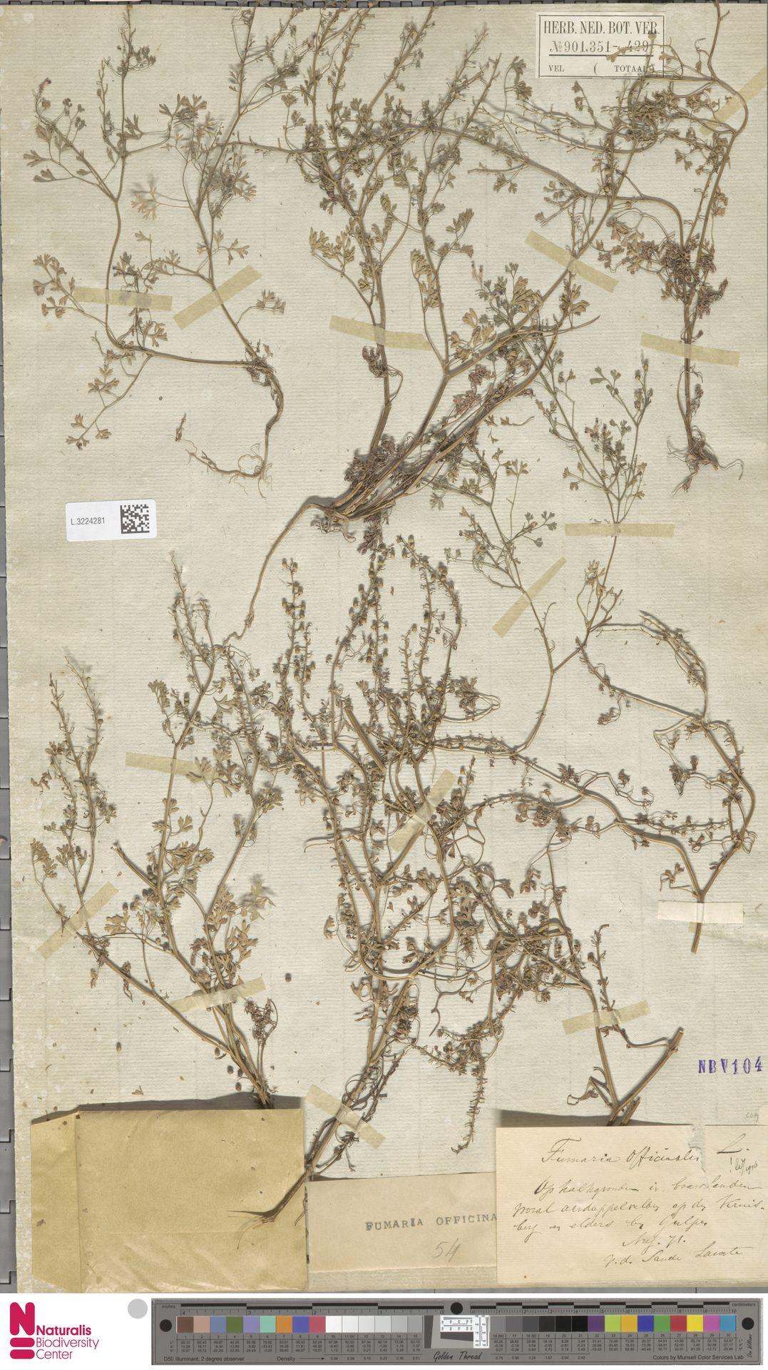 L.3224281 | Fumaria officinalis L.