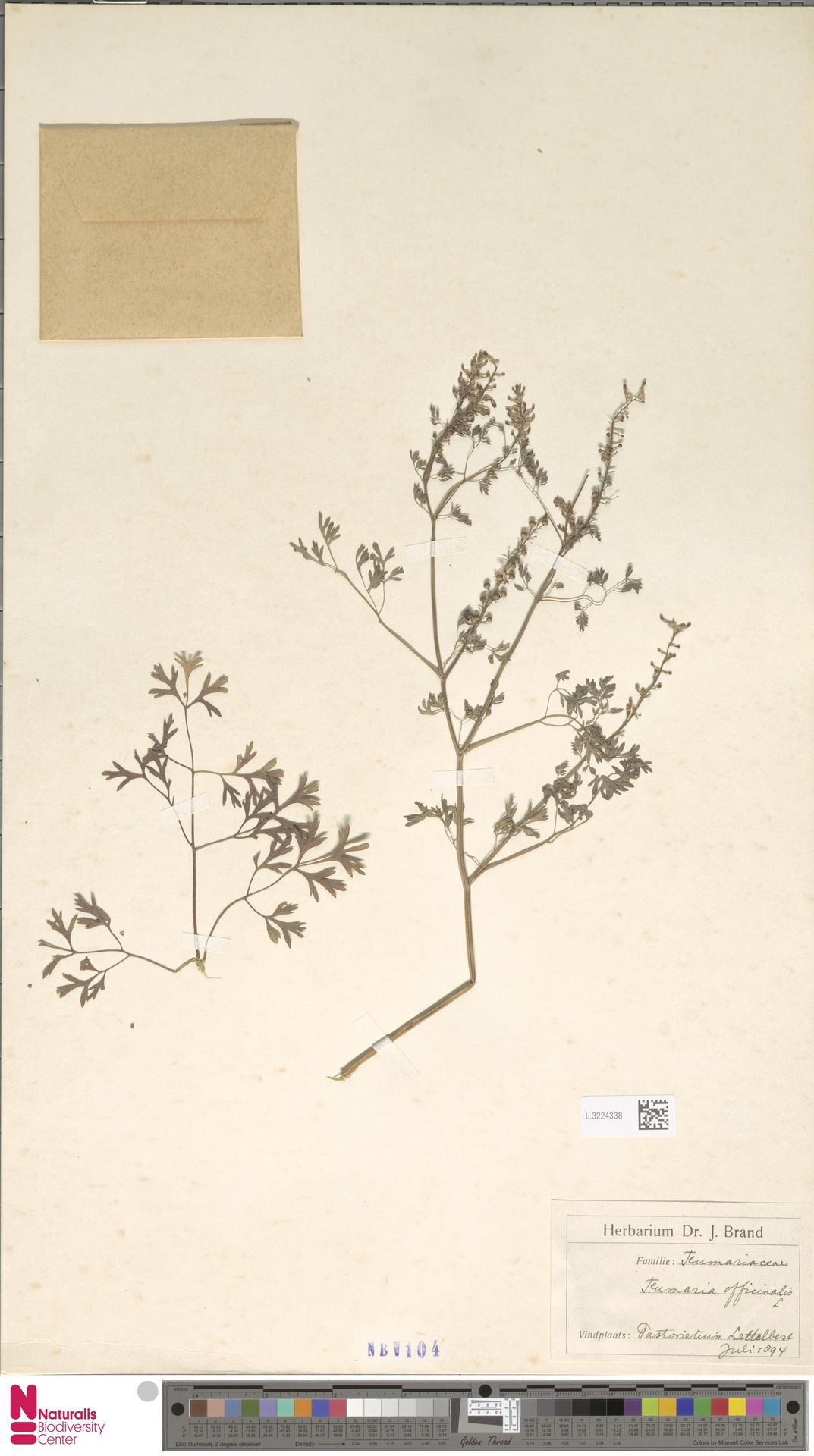 L.3224338 | Fumaria officinalis L.