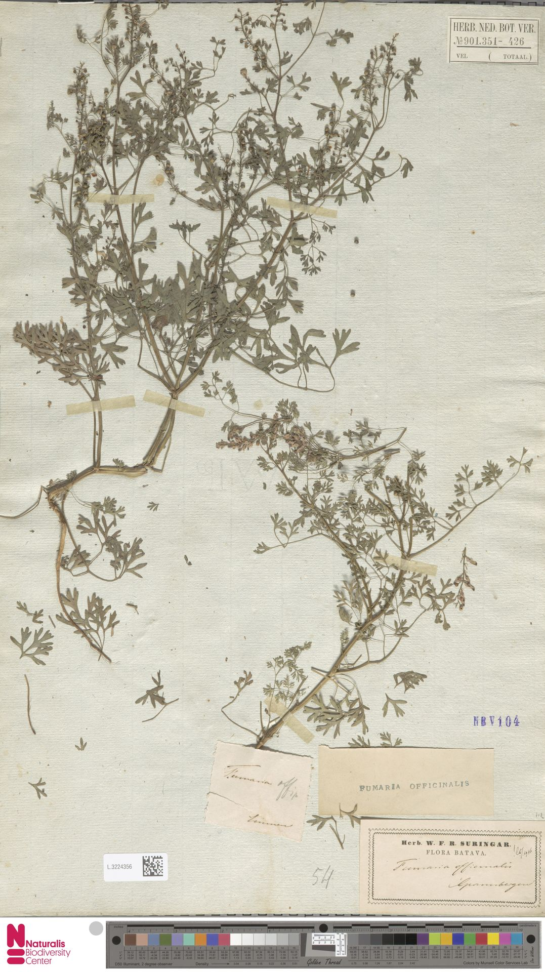 L.3224356 | Fumaria officinalis L.