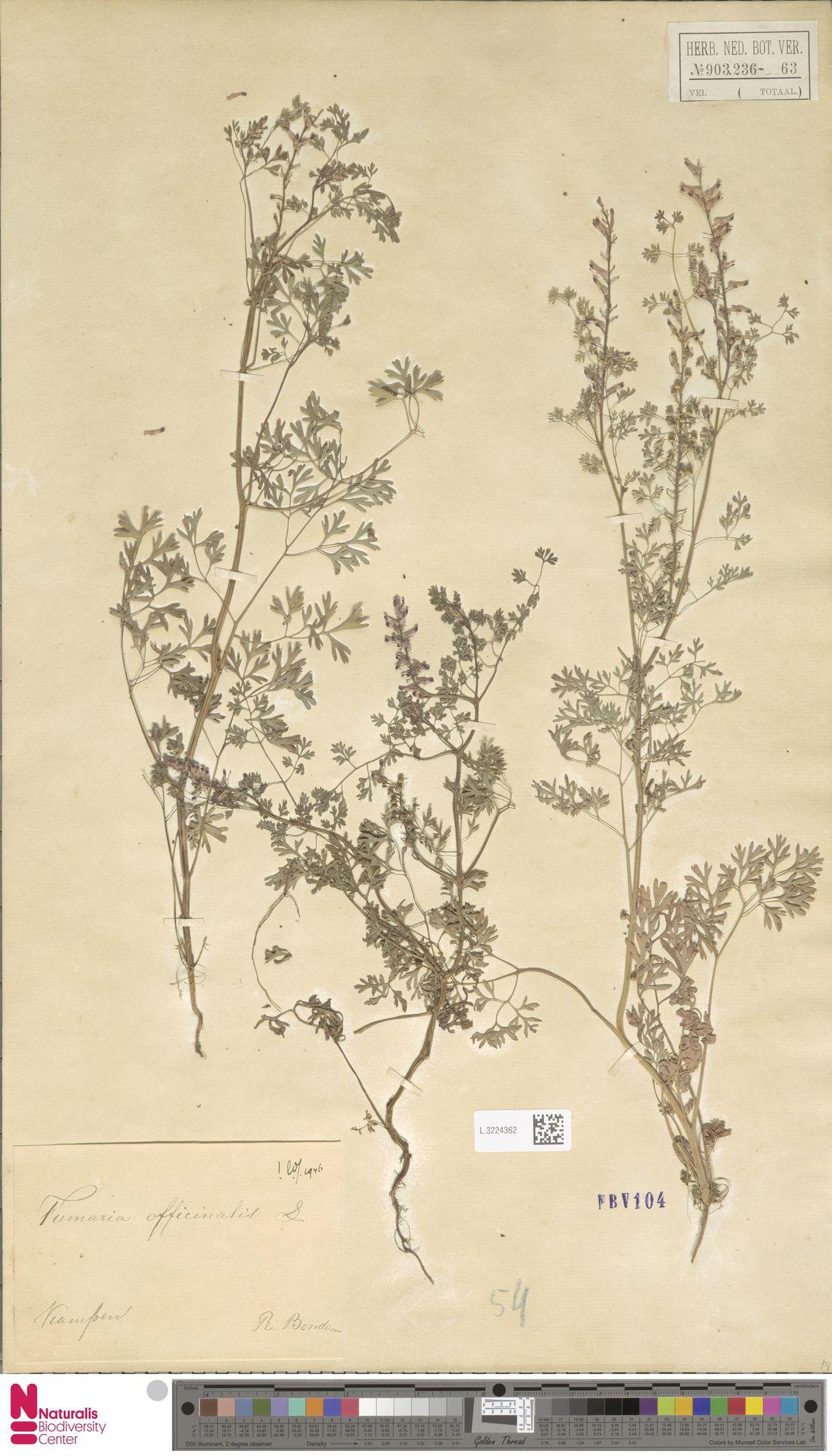 L.3224362   Fumaria officinalis L.