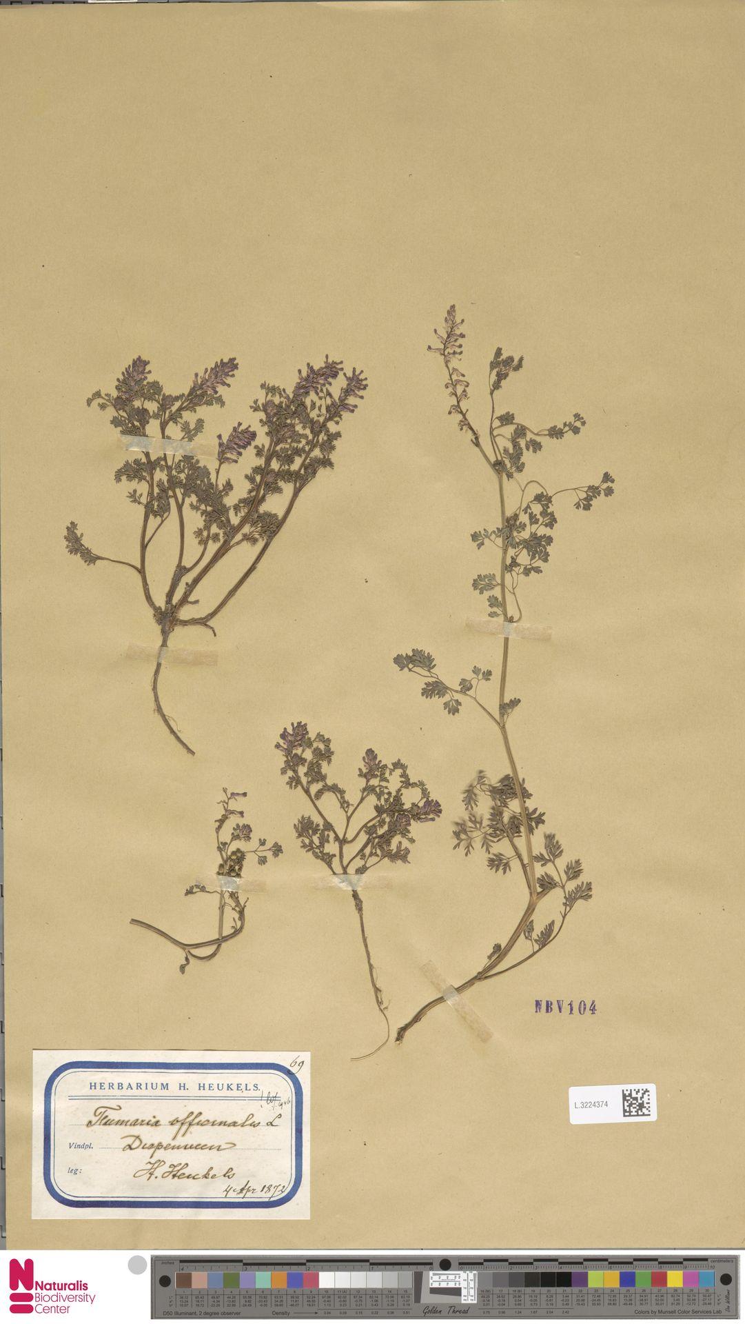 L.3224374 | Fumaria officinalis L.