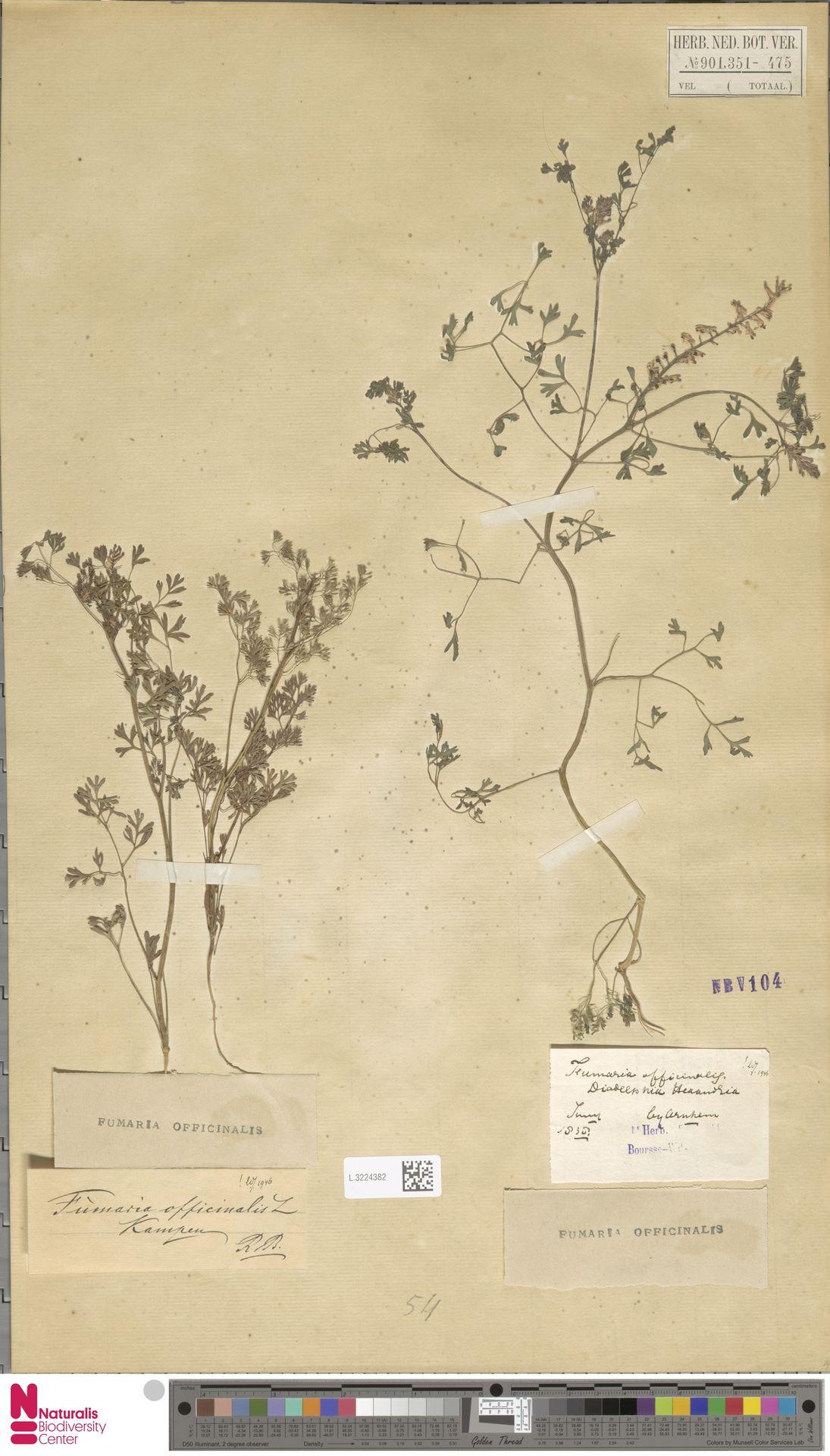 L.3224382 | Fumaria officinalis L.