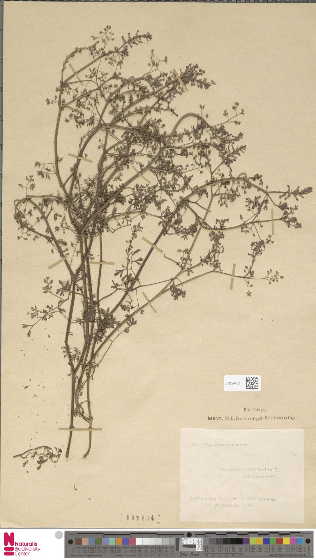 L.3224402   Fumaria officinalis L.