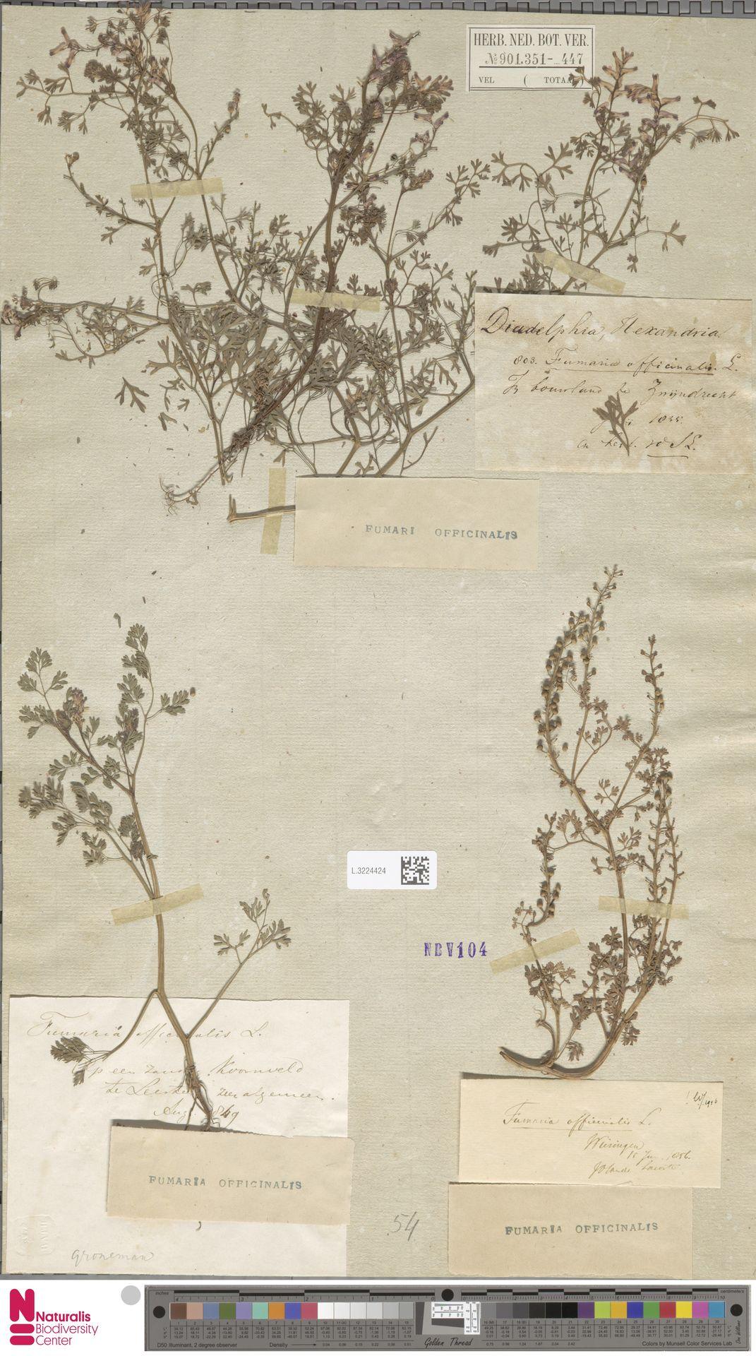 L.3224424 | Fumaria officinalis L.