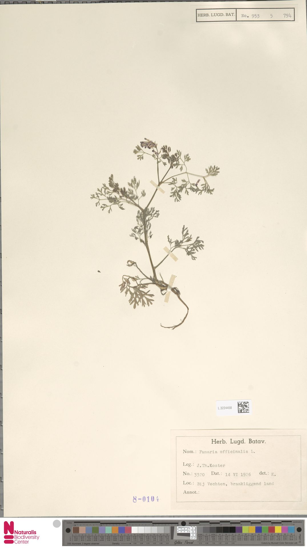 L.3224458 | Fumaria officinalis L.