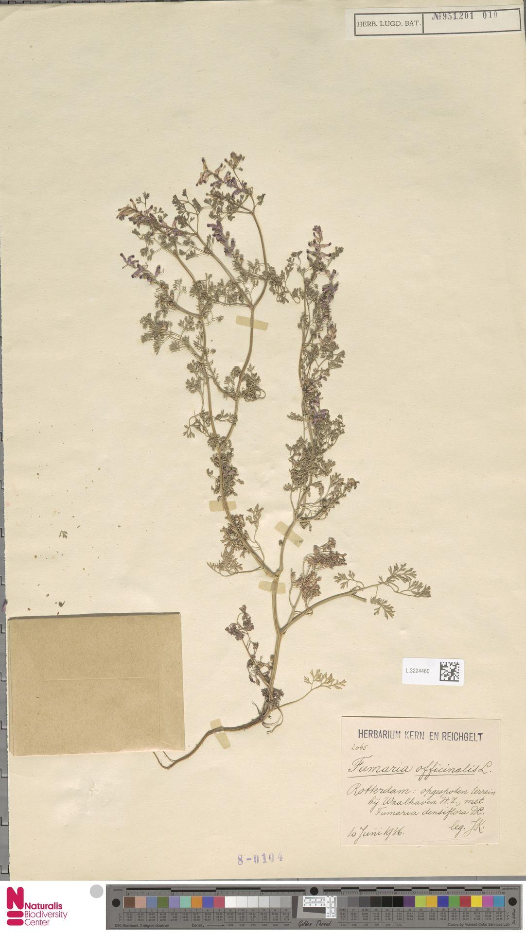 L.3224460 | Fumaria officinalis L.
