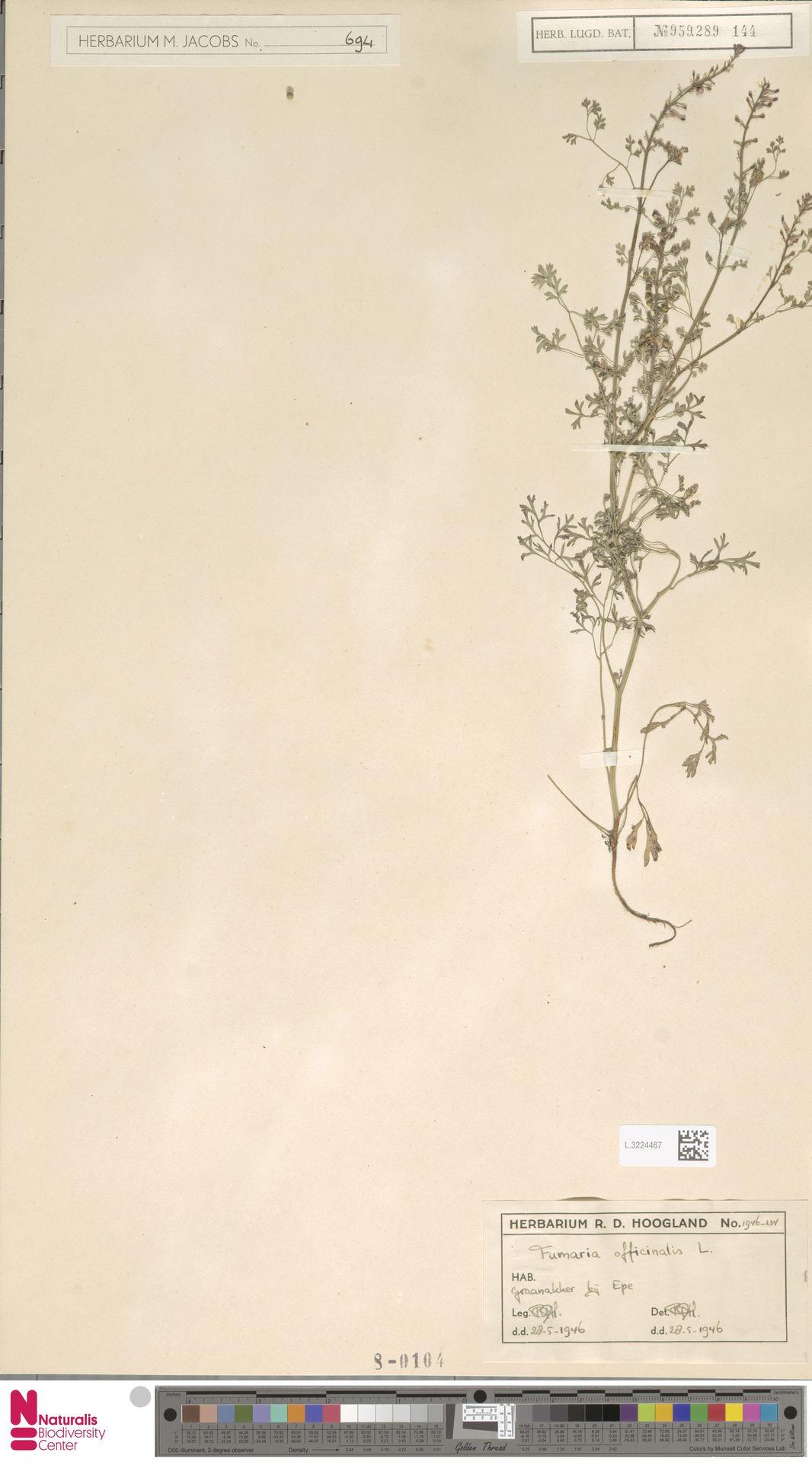 L.3224467 | Fumaria officinalis L.