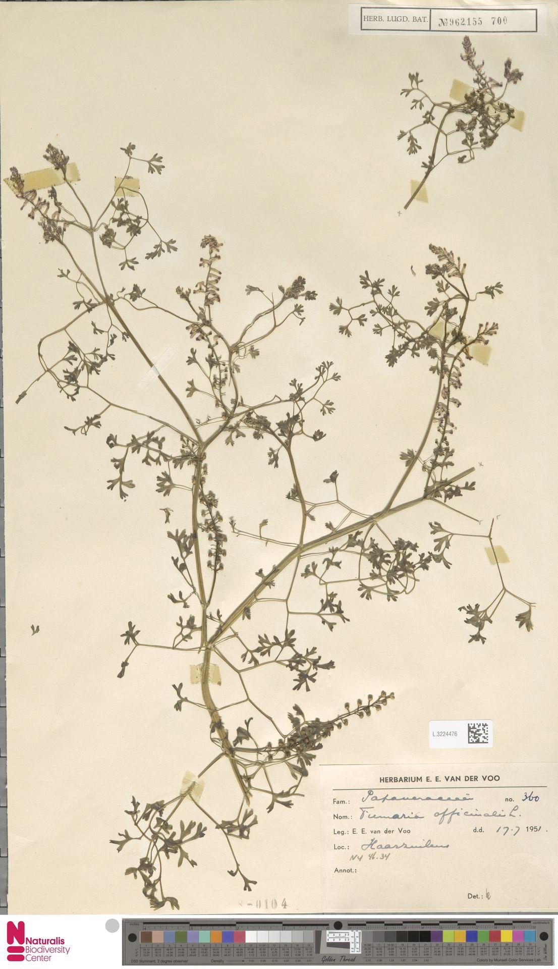 L.3224476 | Fumaria officinalis L.