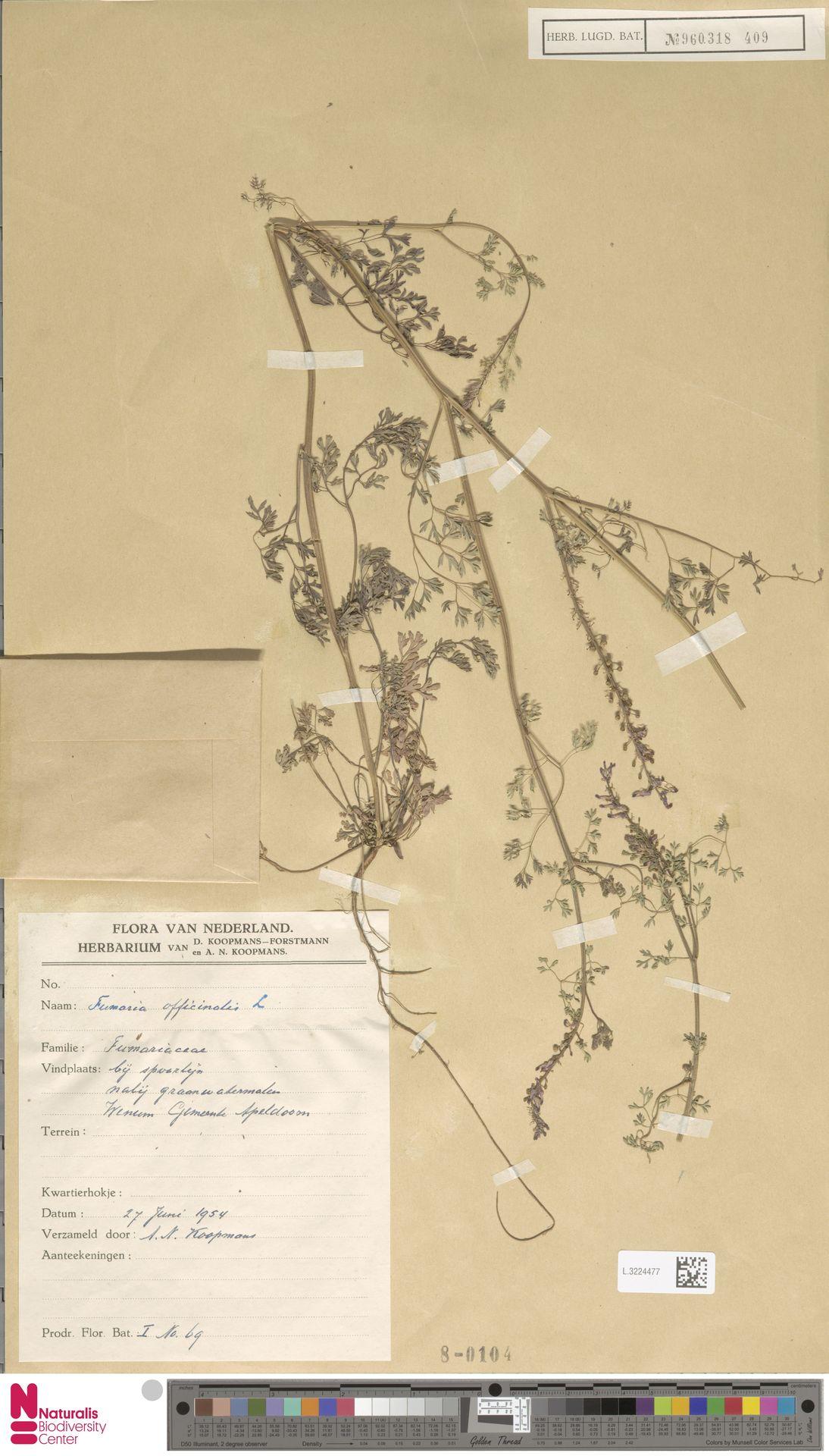 L.3224477 | Fumaria officinalis L.