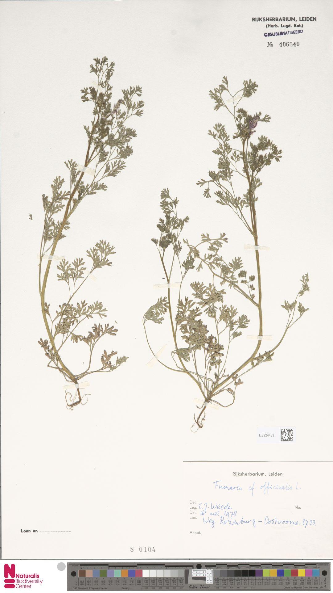 L.3224483 | Fumaria officinalis L.