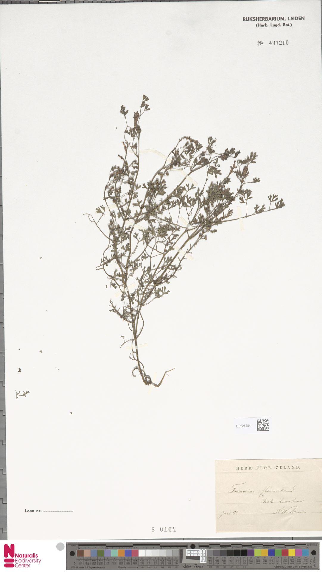 L.3224484 | Fumaria officinalis L.