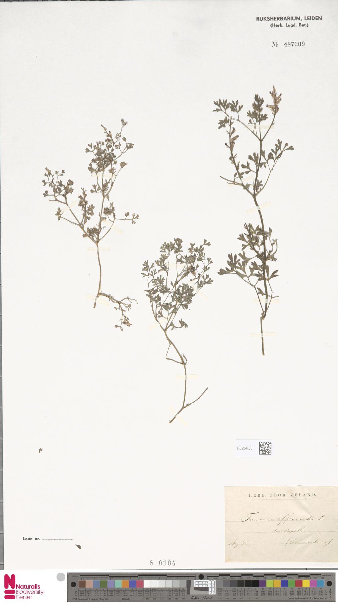 L.3224485 | Fumaria officinalis L.