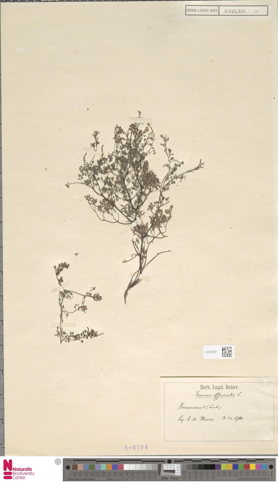 L.3224487 | Fumaria officinalis L.