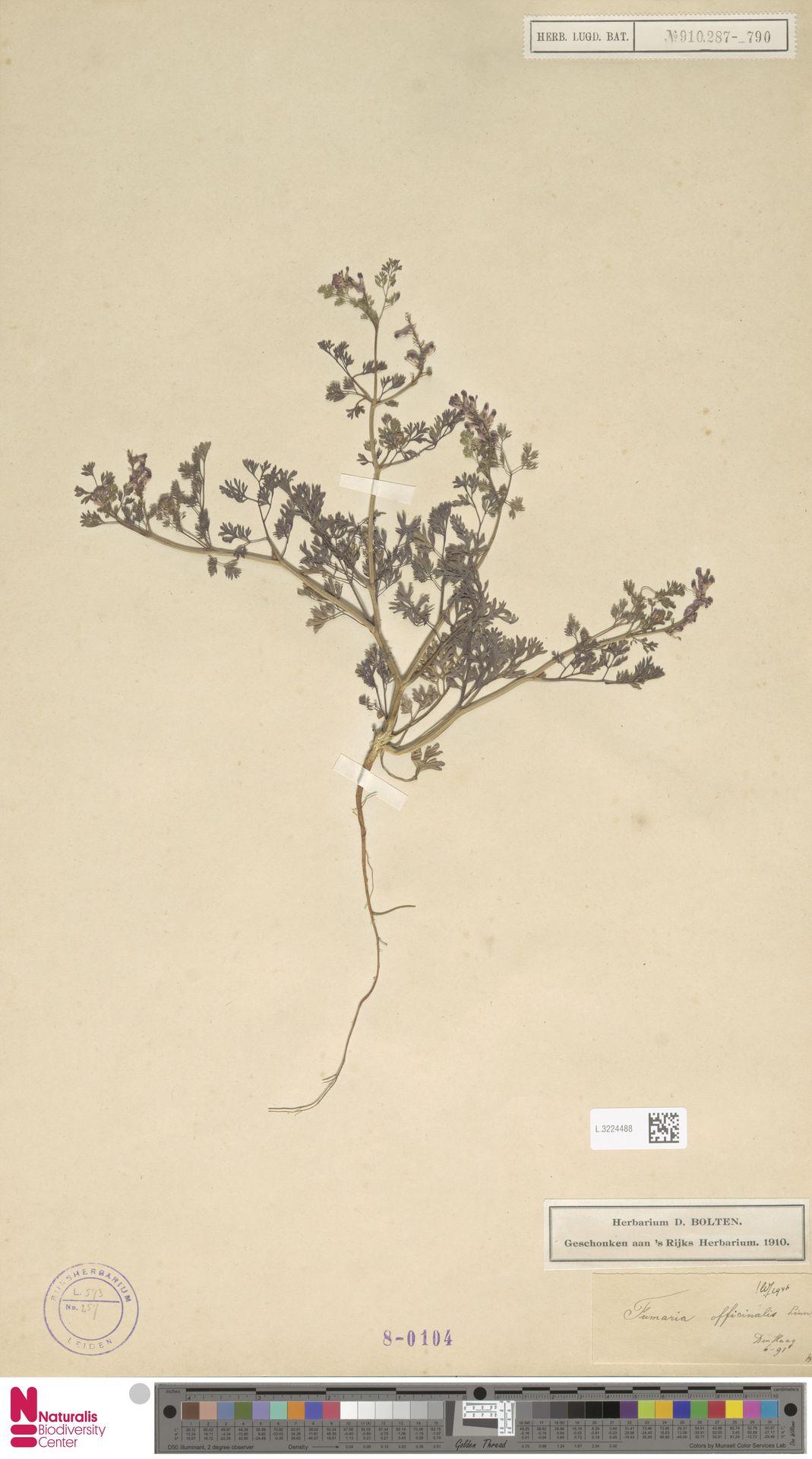 L.3224488 | Fumaria officinalis L.