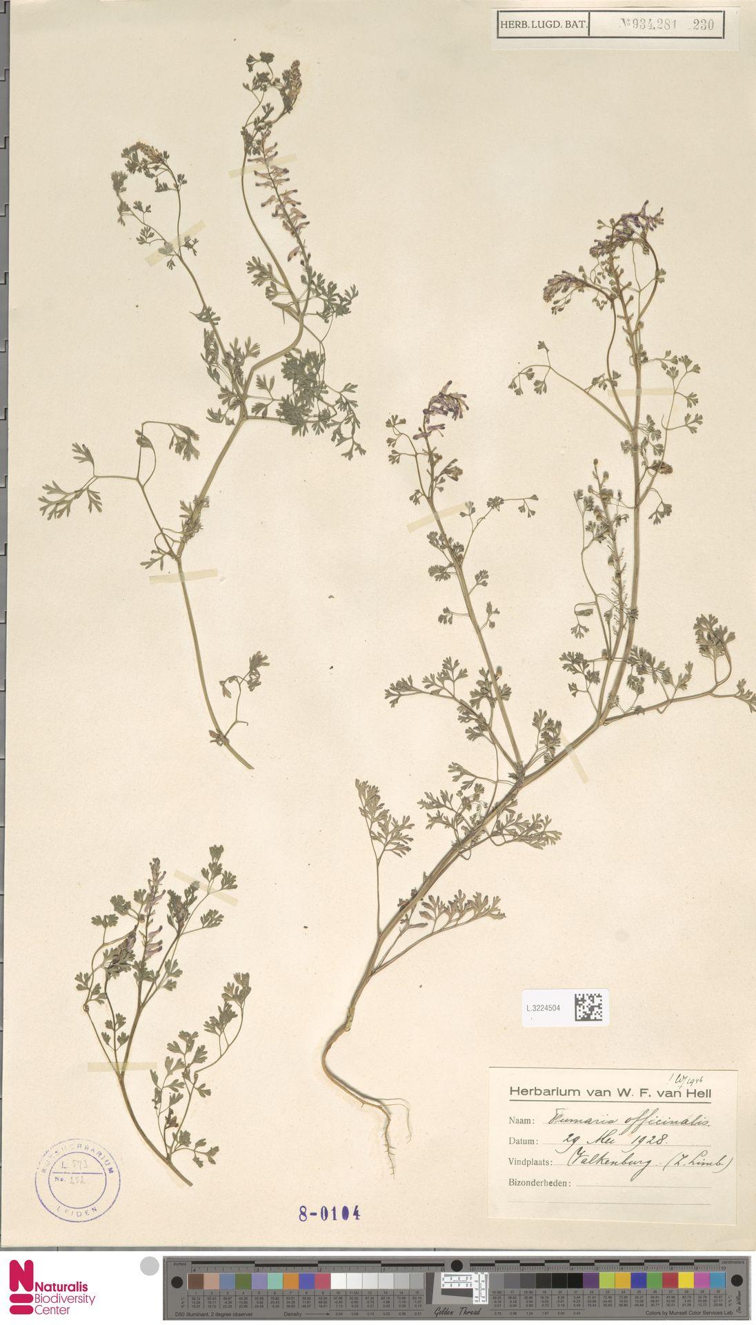 L.3224504   Fumaria officinalis L.