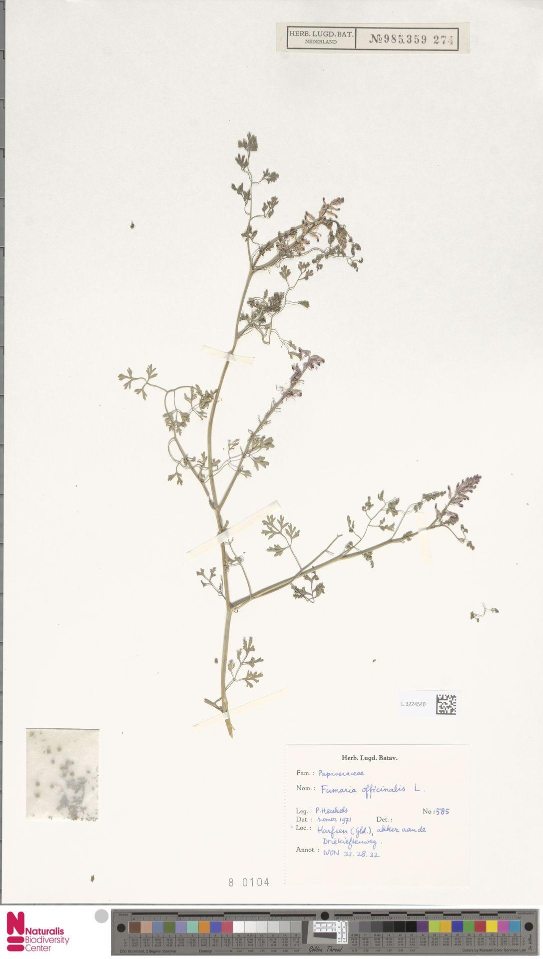 L.3224540 | Fumaria officinalis L.