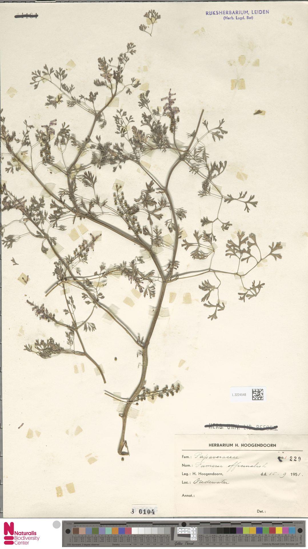 L.3224548 | Fumaria officinalis L.