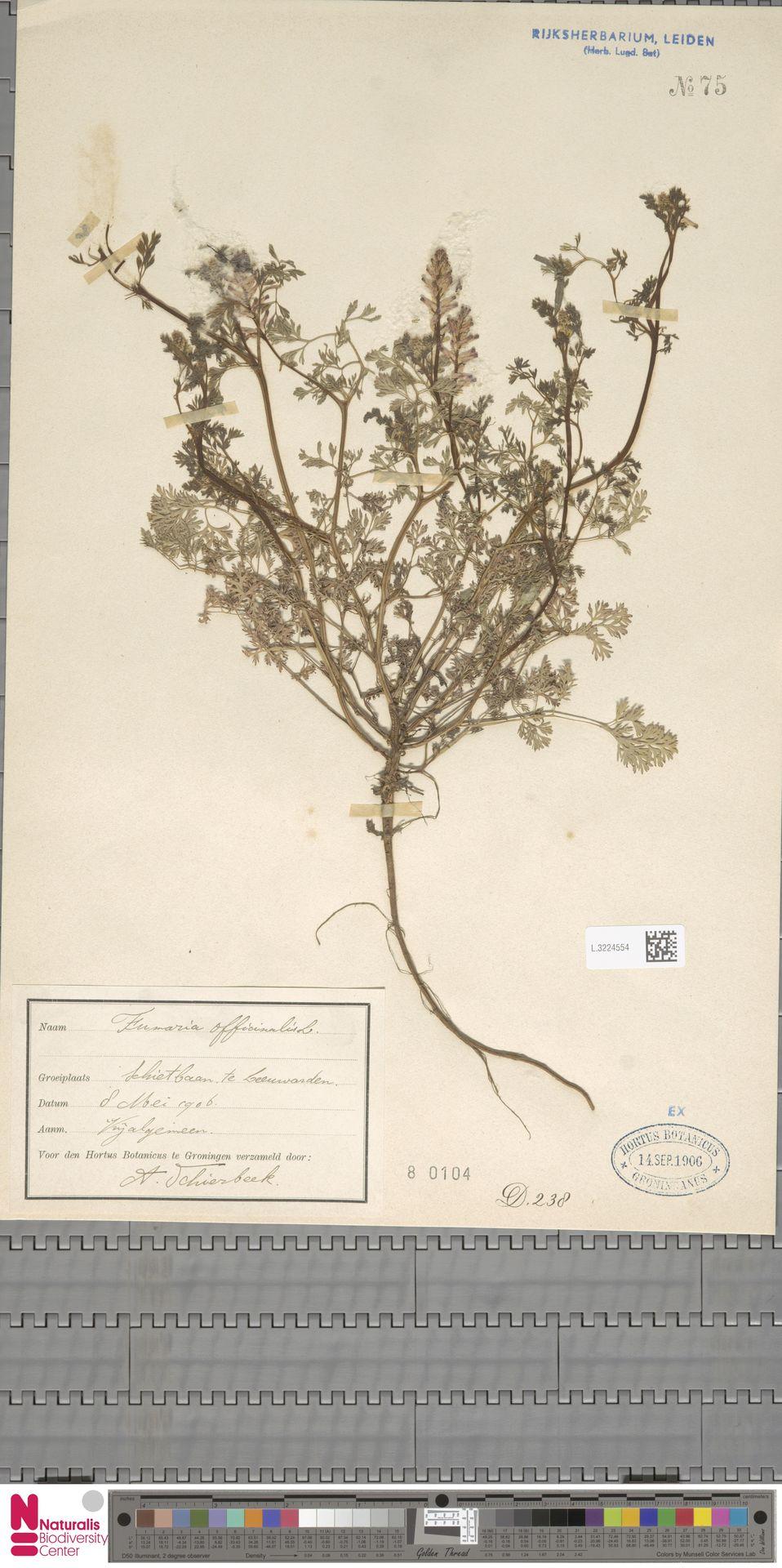 L.3224554 | Fumaria officinalis L.