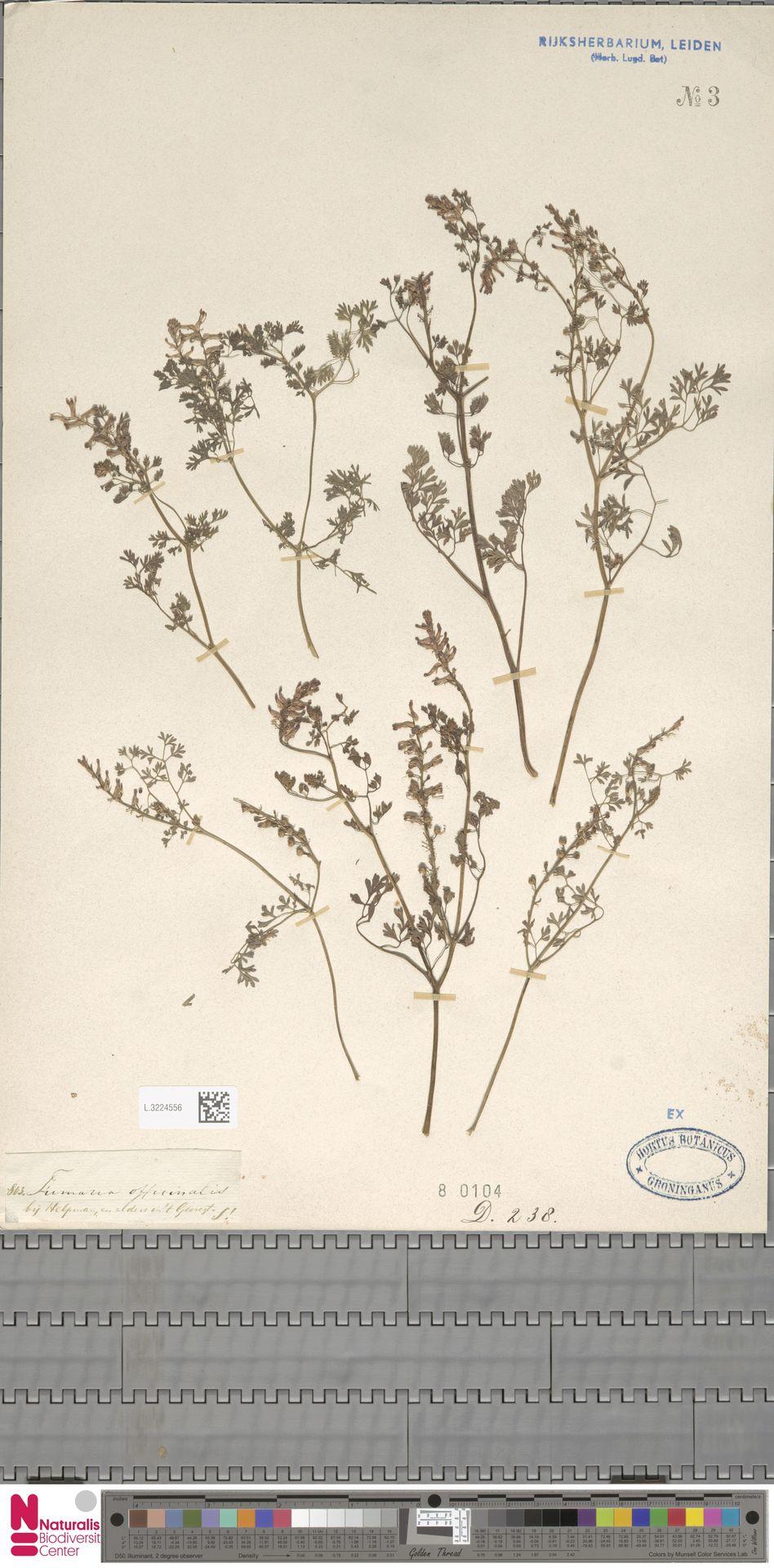 L.3224556 | Fumaria officinalis L.