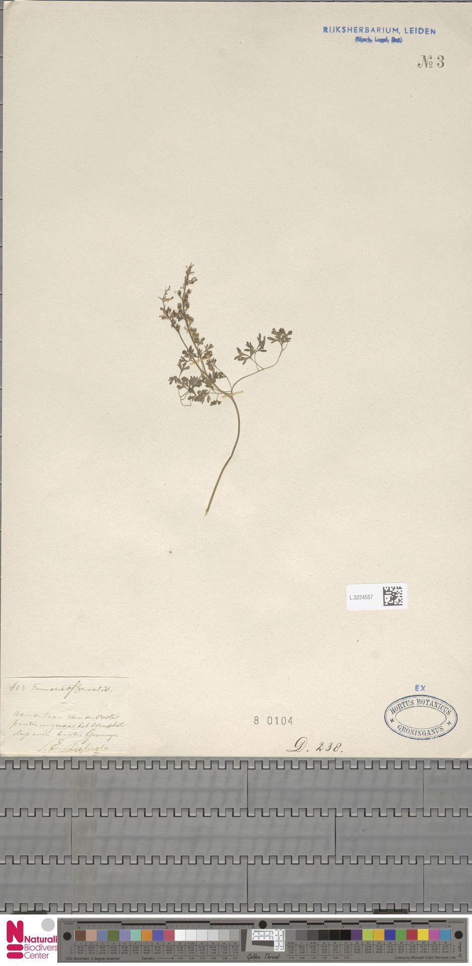 L.3224557 | Fumaria officinalis L.