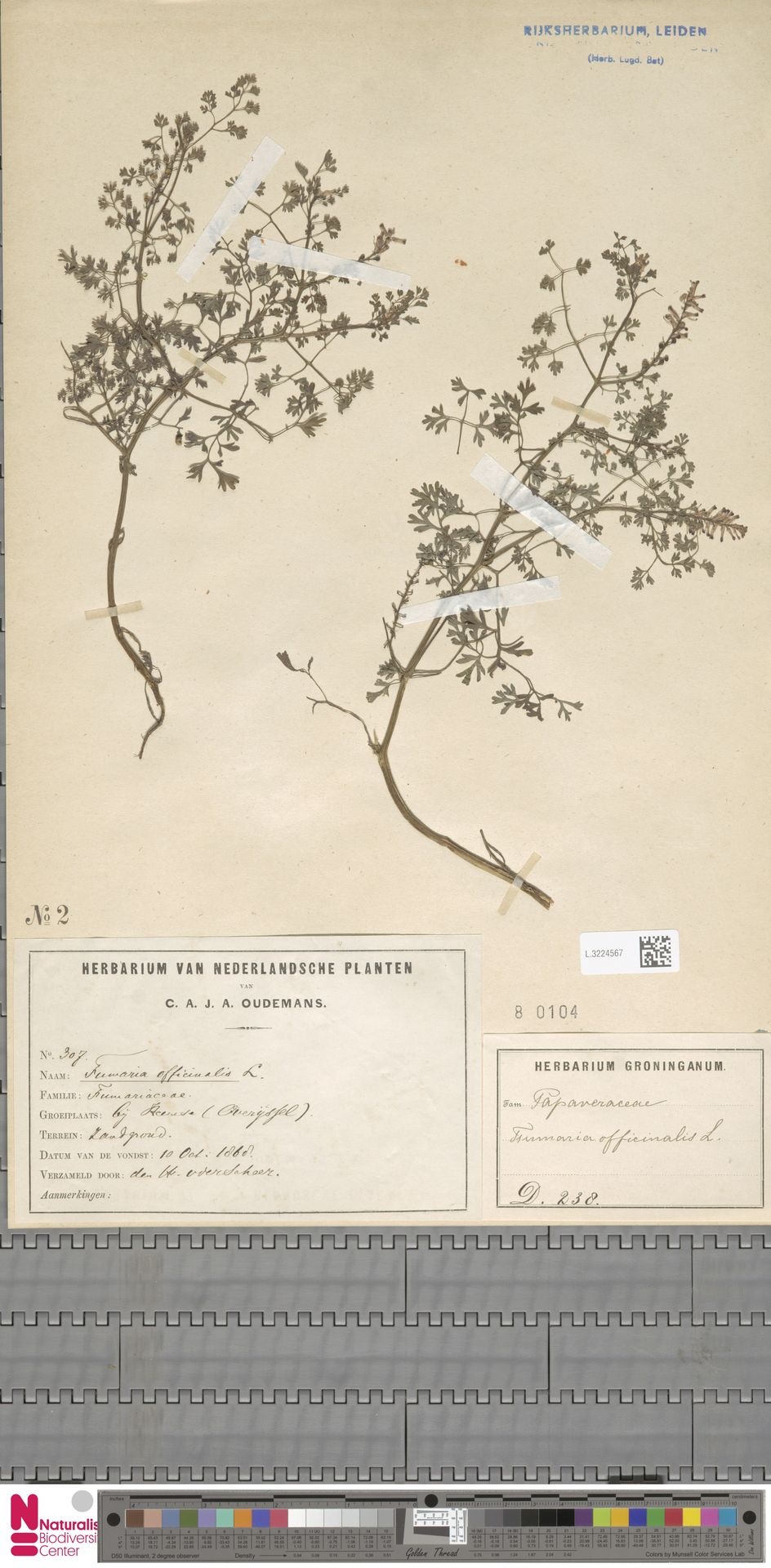 L.3224567 | Fumaria officinalis L.