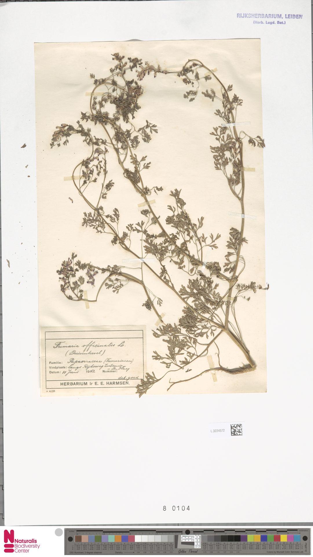 L.3224572 | Fumaria officinalis L.
