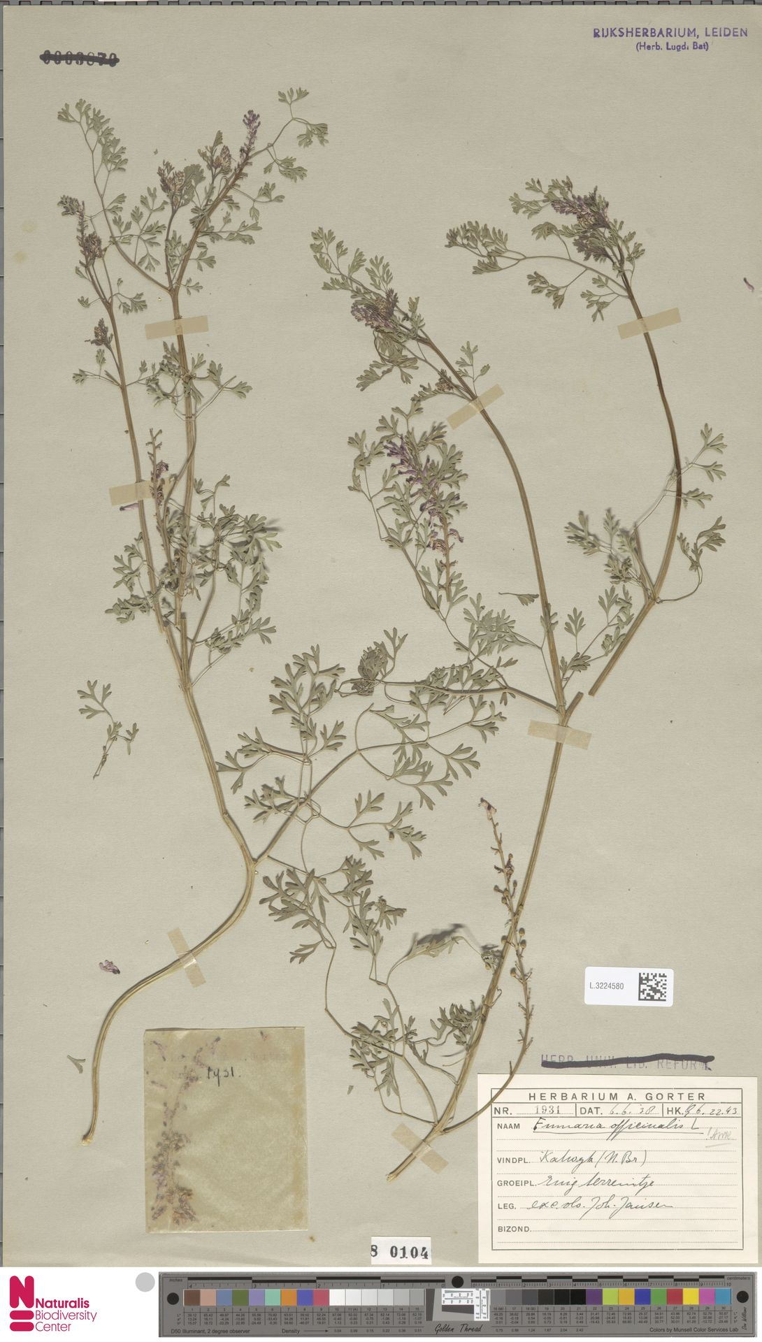 L.3224580 | Fumaria officinalis L.