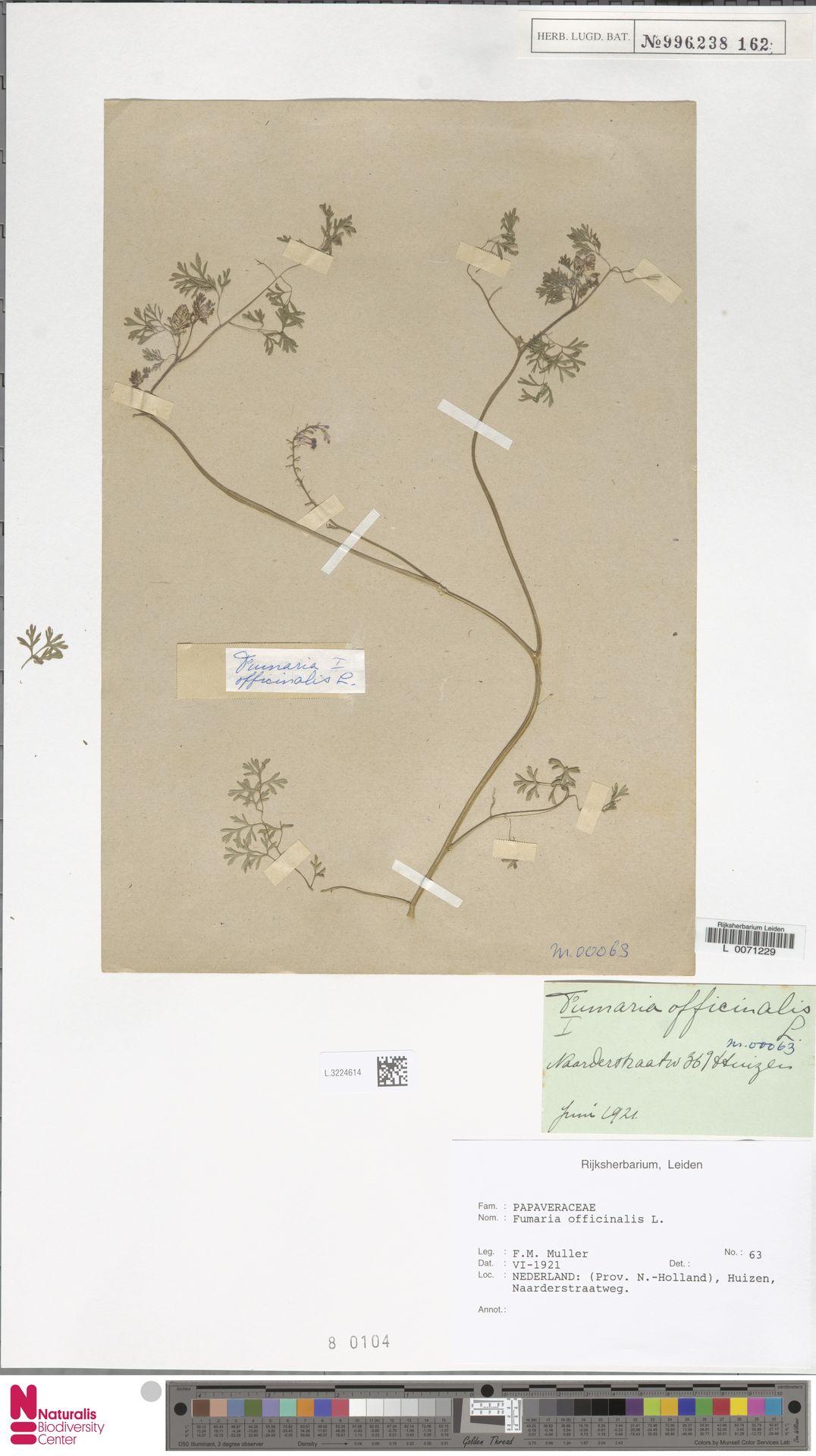 L.3224614 | Fumaria officinalis L.
