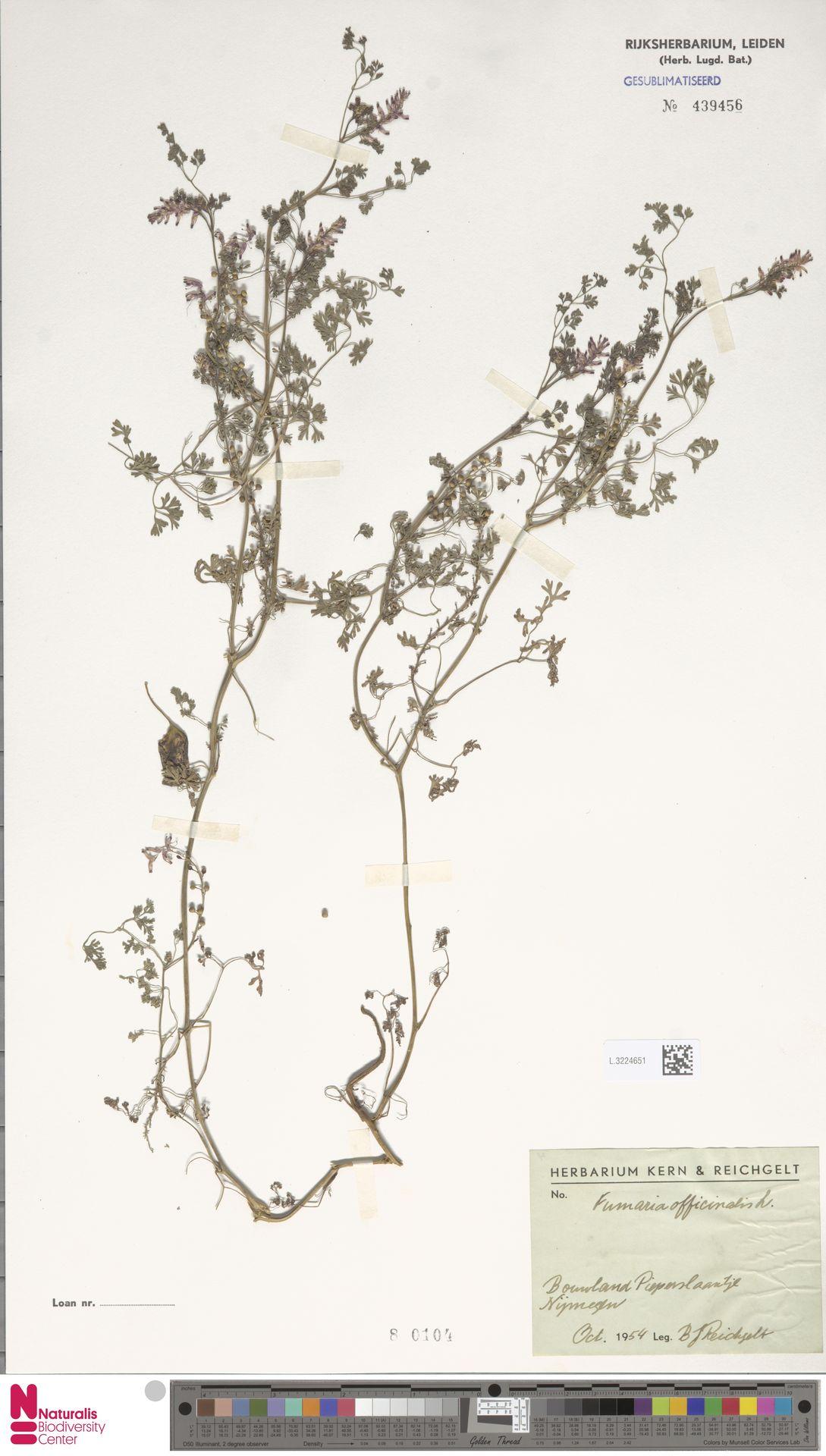 L.3224651 | Fumaria officinalis L.