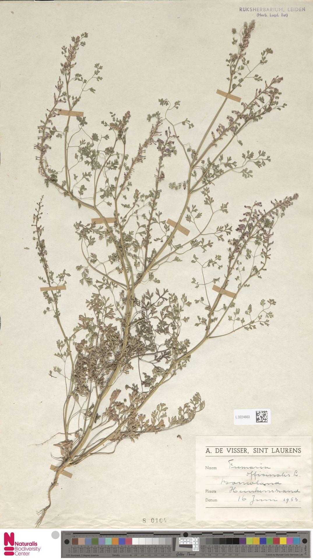 L.3224663   Fumaria officinalis L.