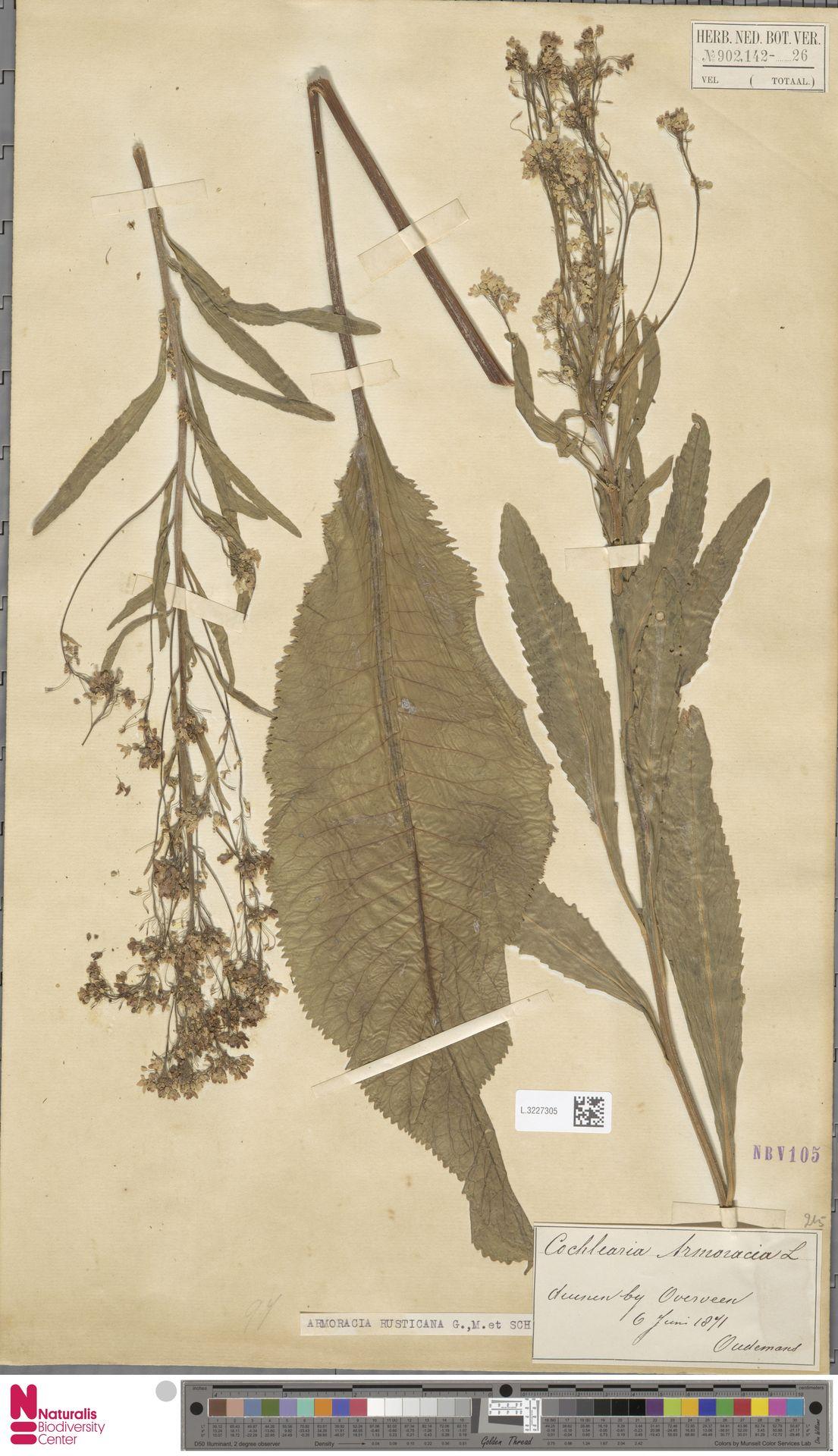 L.3227305   Armoracia rusticana G.Gaertn., B.Mey. & Schreb.