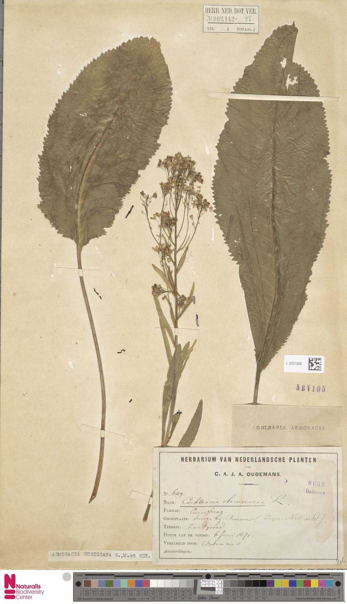 L.3227306 | Armoracia rusticana G.Gaertn., B.Mey. & Schreb.