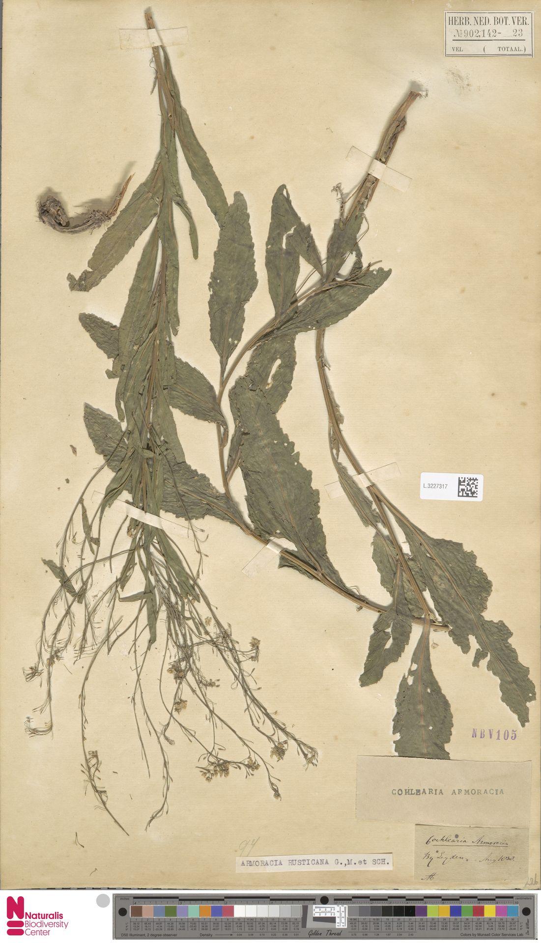 L.3227317 | Armoracia rusticana G.Gaertn., B.Mey. & Schreb.