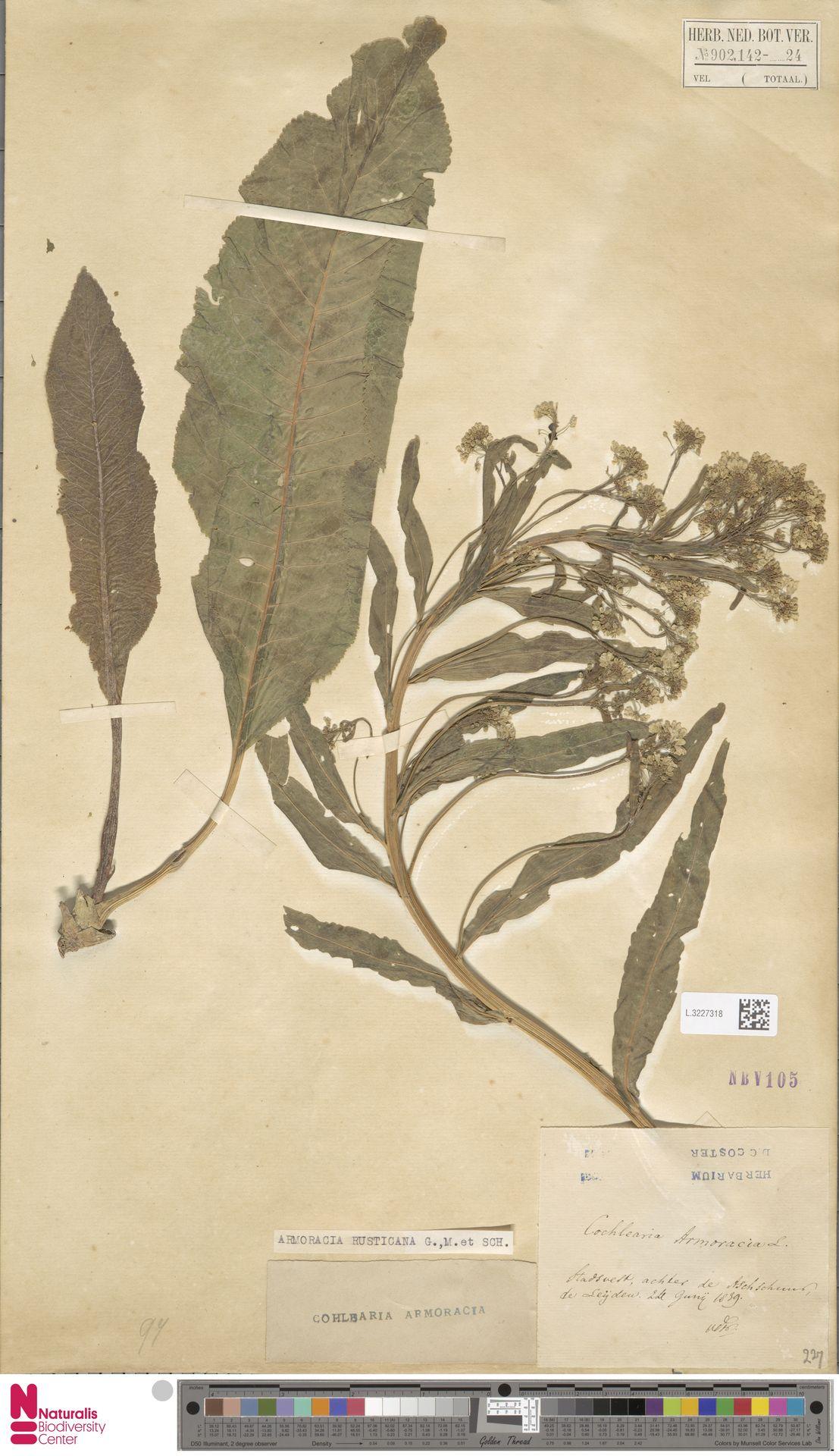 L.3227318 | Armoracia rusticana G.Gaertn., B.Mey. & Schreb.