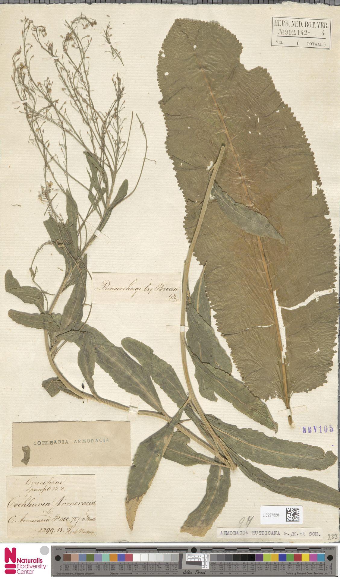 L.3227328 | Armoracia rusticana G.Gaertn., B.Mey. & Schreb.