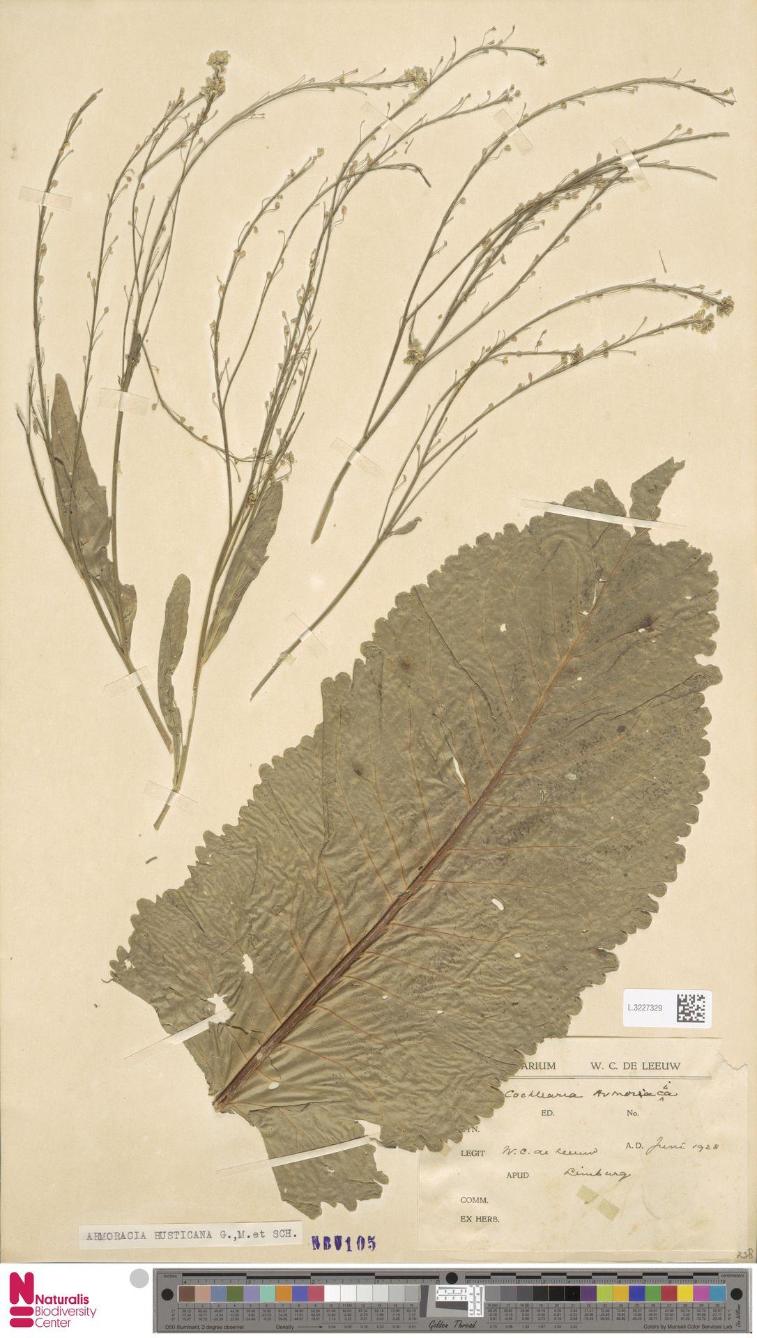 L.3227329 | Armoracia rusticana G.Gaertn., B.Mey. & Schreb.