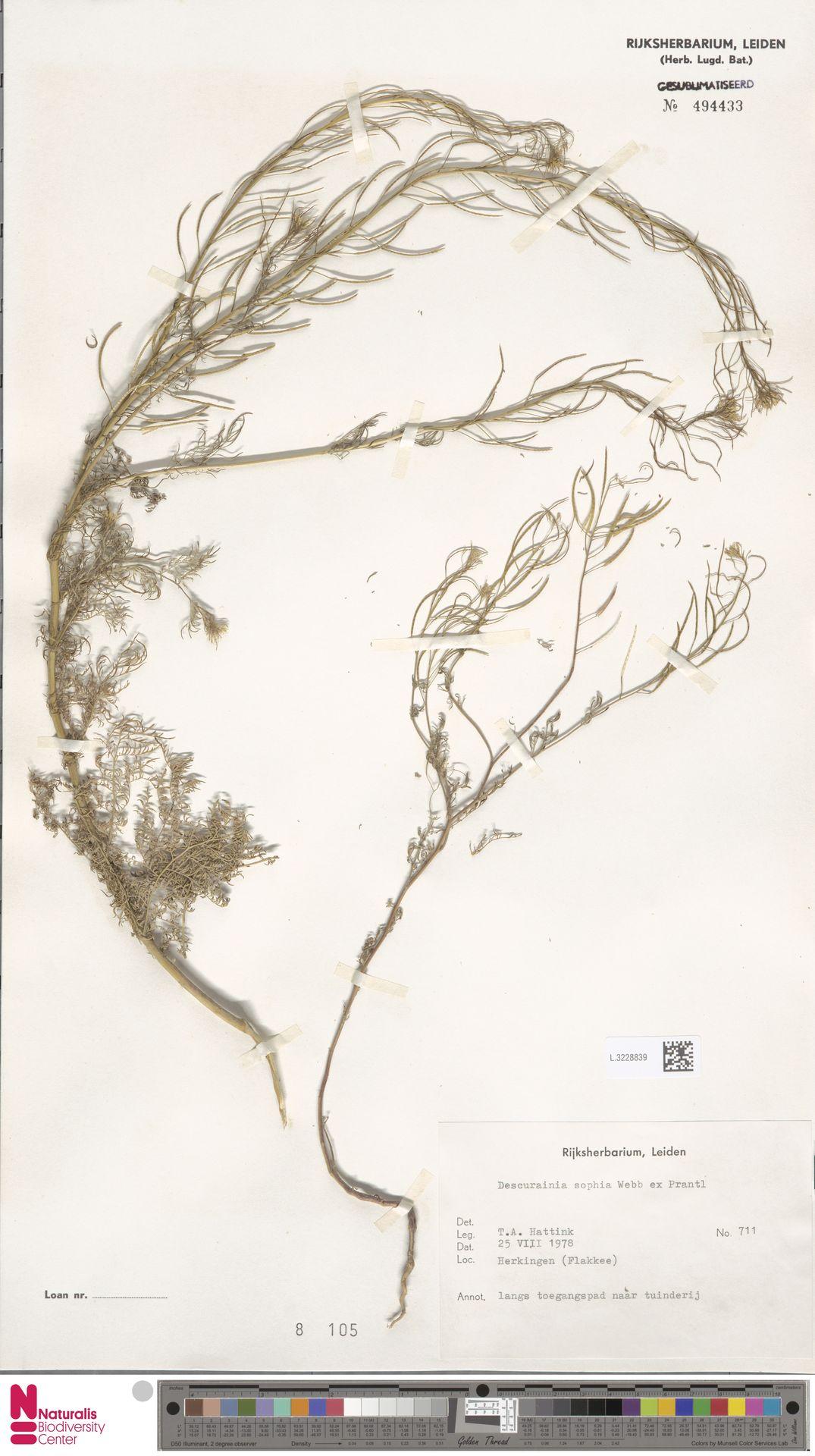 L.3228839 | Descurainia sophia (L.) Webb ex Prantl