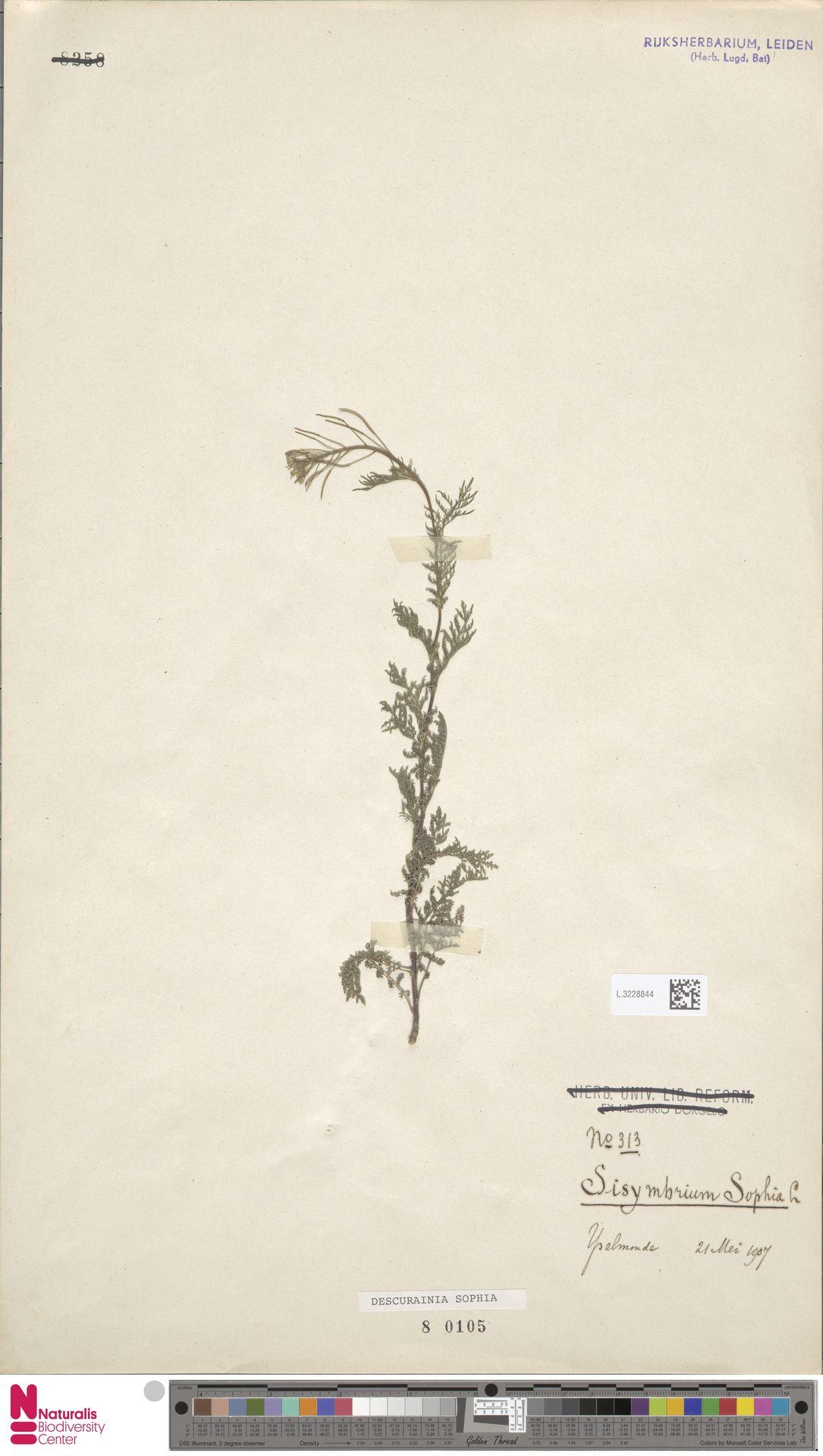 L.3228844 | Descurainia sophia (L.) Webb ex Prantl