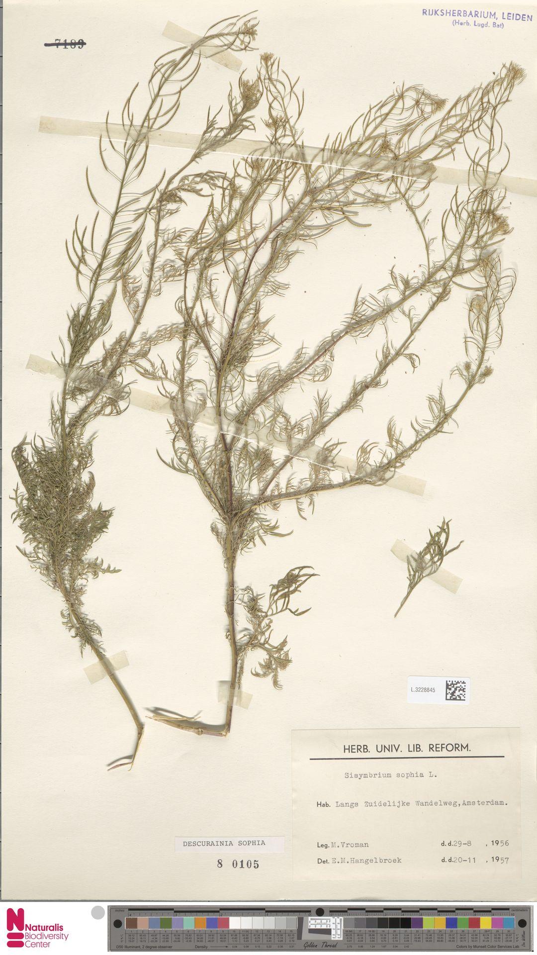L.3228845 | Descurainia sophia (L.) Webb ex Prantl