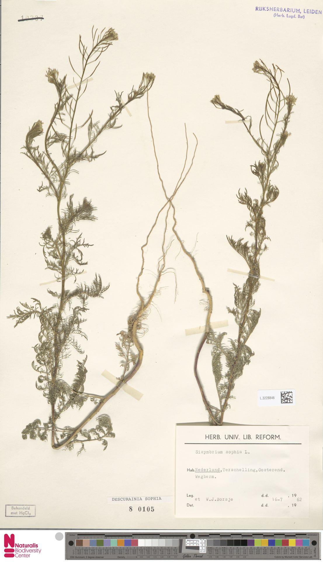 L.3228846 | Descurainia sophia (L.) Webb ex Prantl