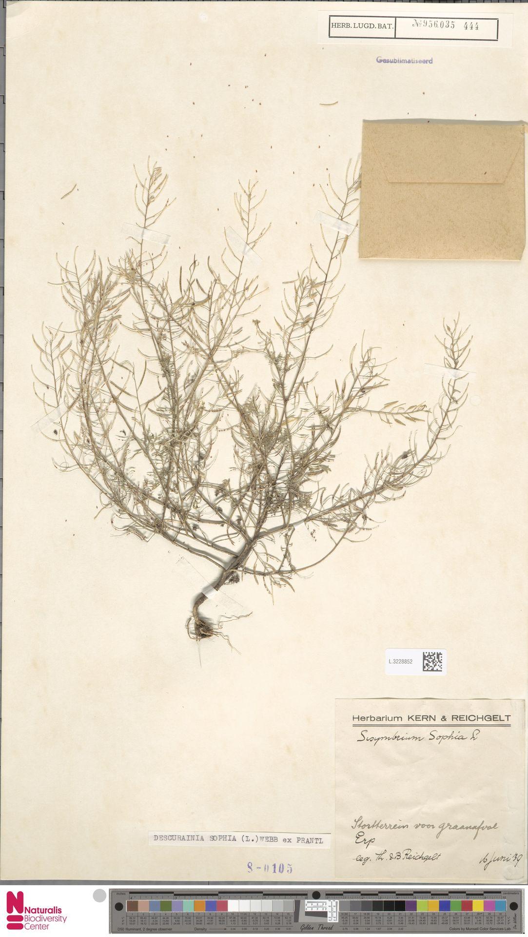 L.3228852 | Descurainia sophia (L.) Webb ex Prantl