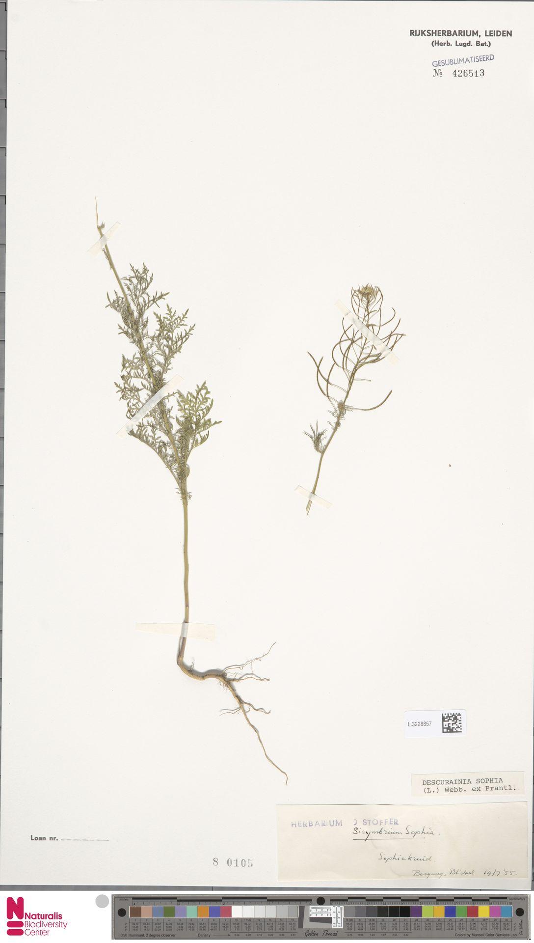 L.3228857 | Descurainia sophia (L.) Webb ex Prantl