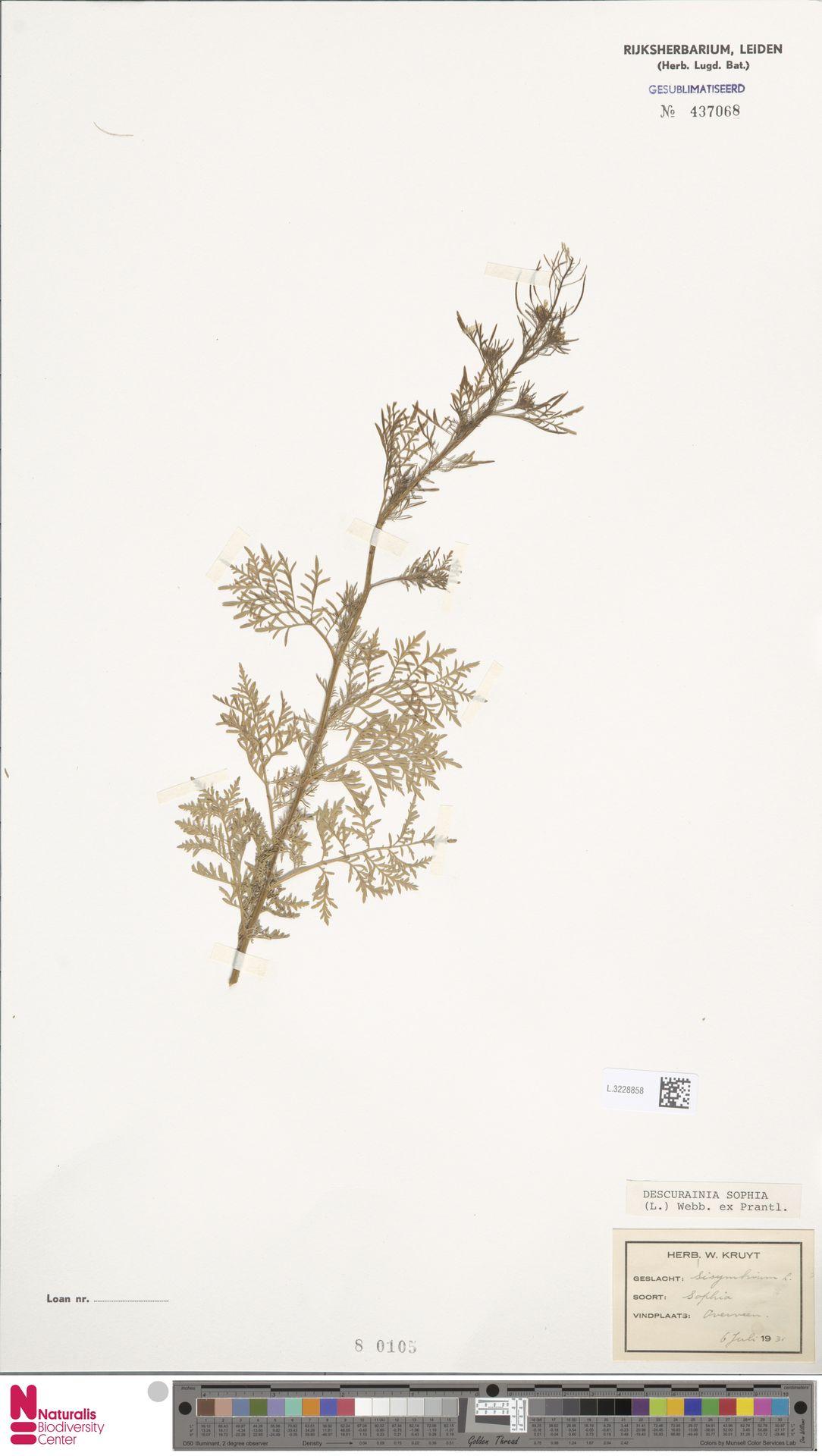 L.3228858 | Descurainia sophia (L.) Webb ex Prantl