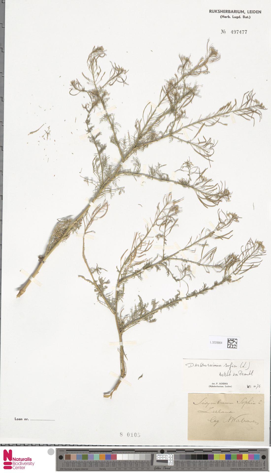 L.3228864 | Descurainia sophia (L.) Webb ex Prantl