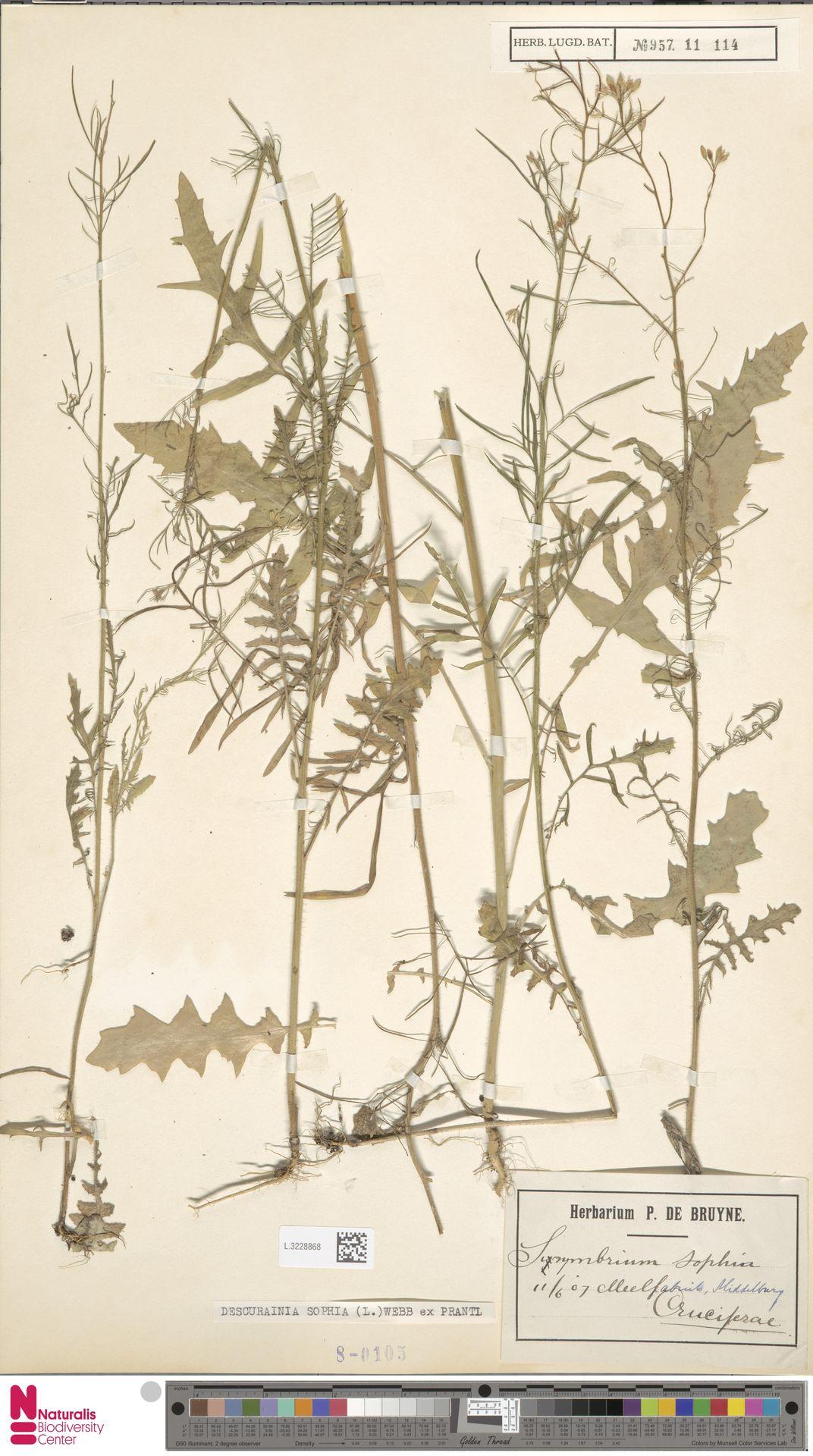 L.3228868 | Descurainia sophia (L.) Webb ex Prantl