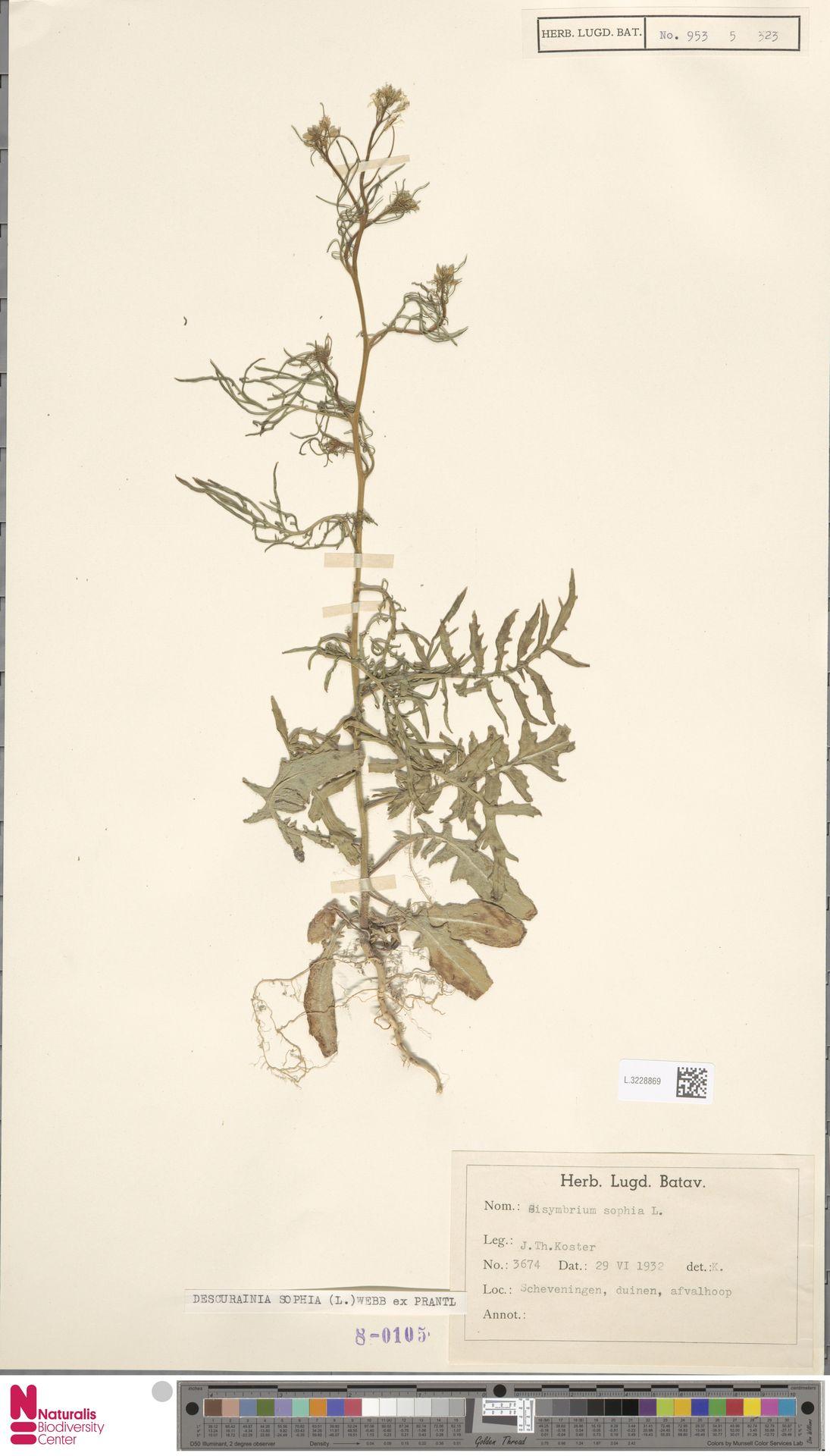 L.3228869 | Descurainia sophia (L.) Webb ex Prantl