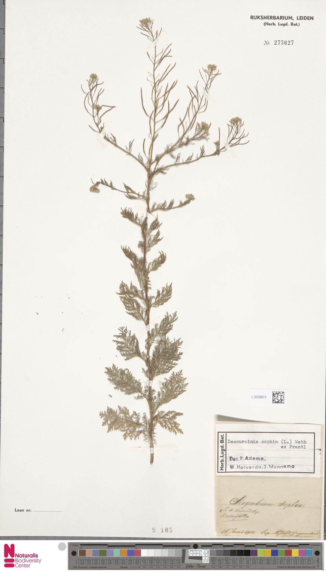 L.3228873 | Descurainia sophia (L.) Webb ex Prantl