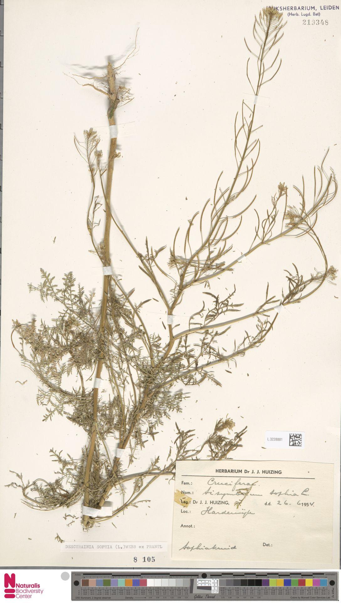 L.3228881 | Descurainia sophia (L.) Webb ex Prantl
