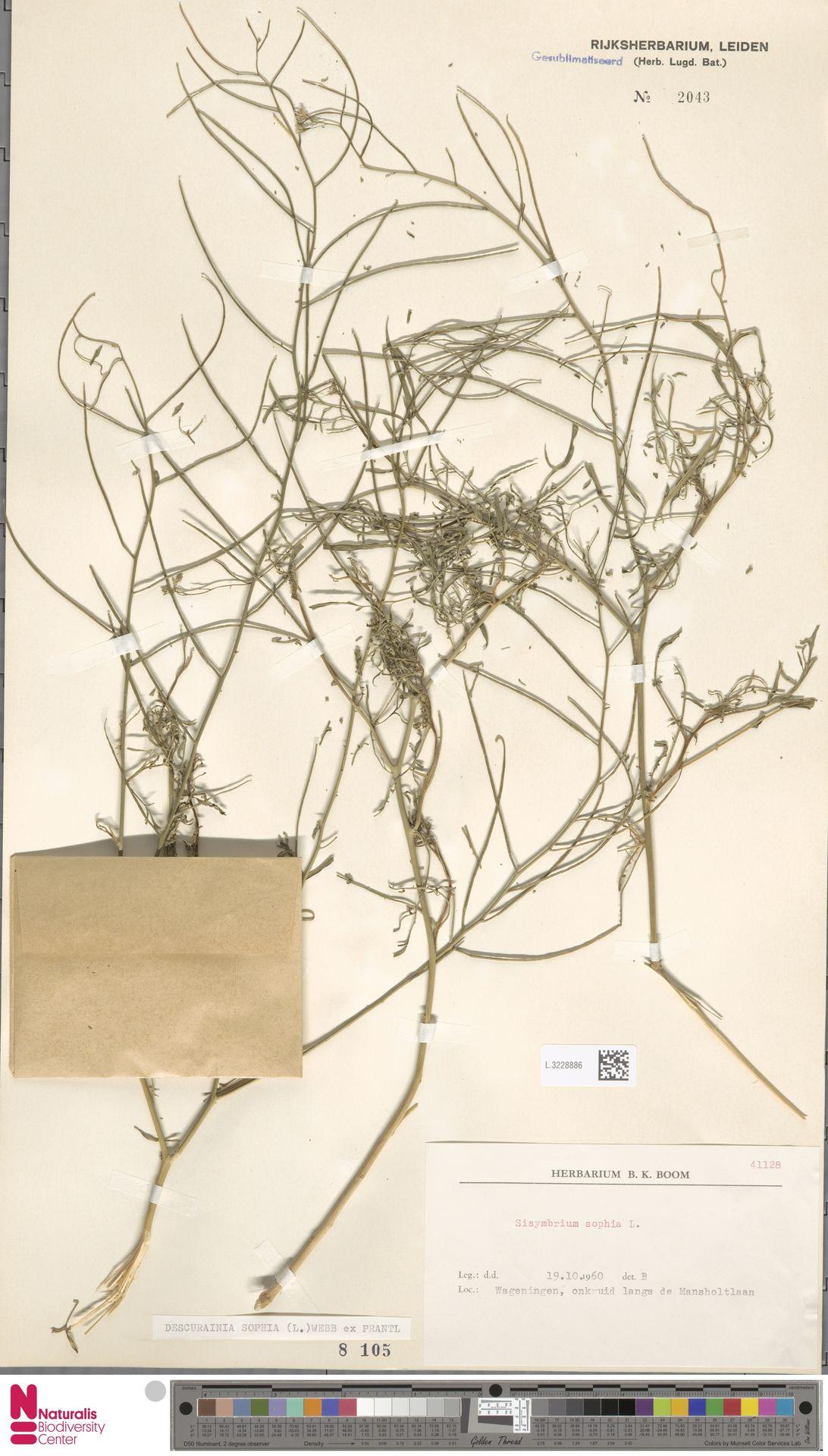L.3228886 | Descurainia sophia (L.) Webb ex Prantl